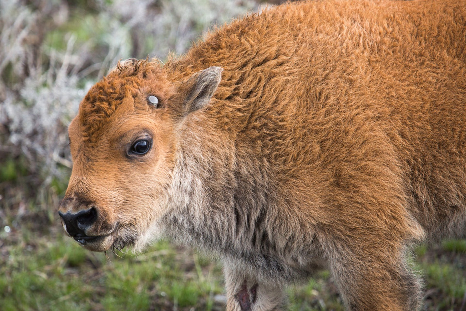 Best Time To See Baby Animal Season In Yellowstone National