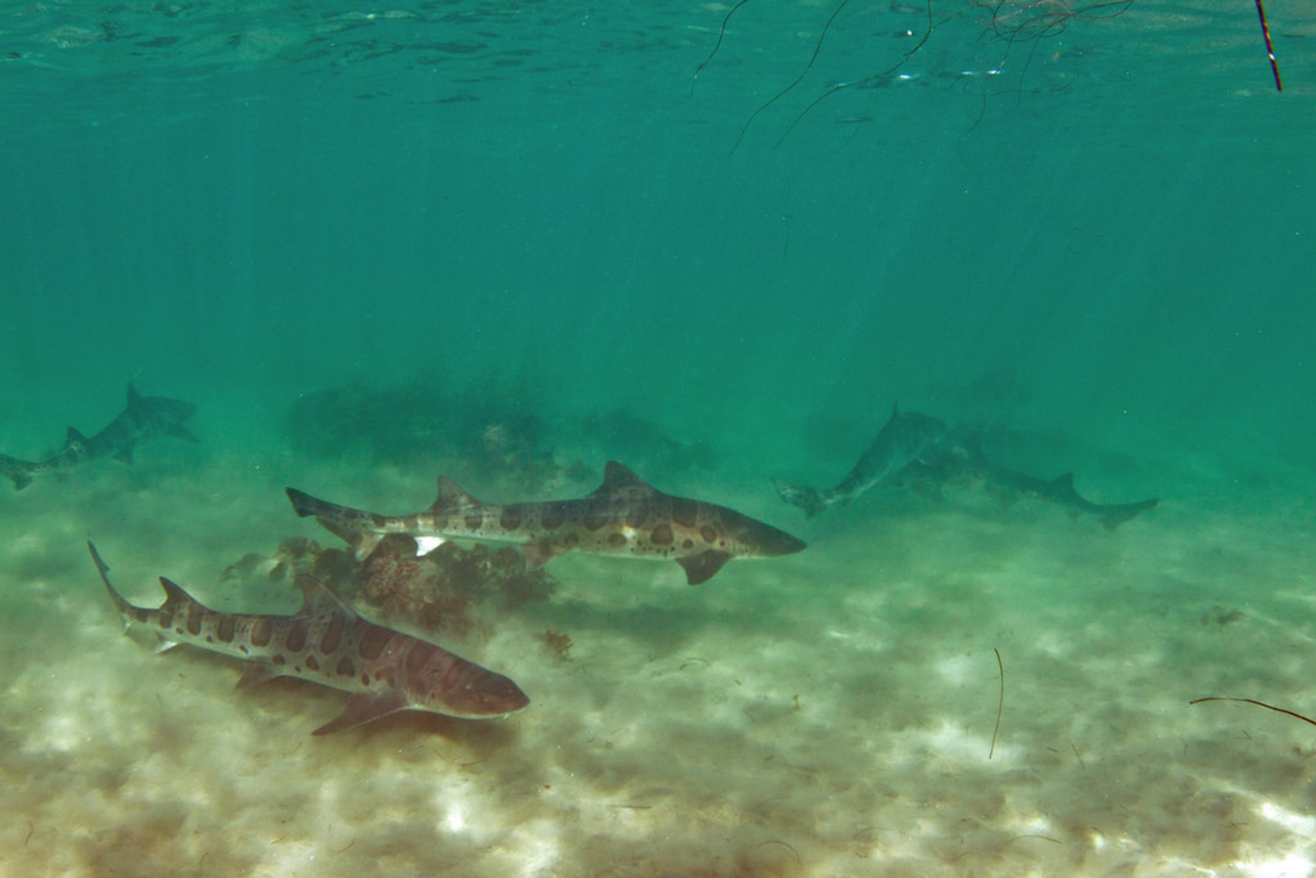 Snorkeling with Leopard Sharks at La Jolla in San Diego 2019 - Best Time