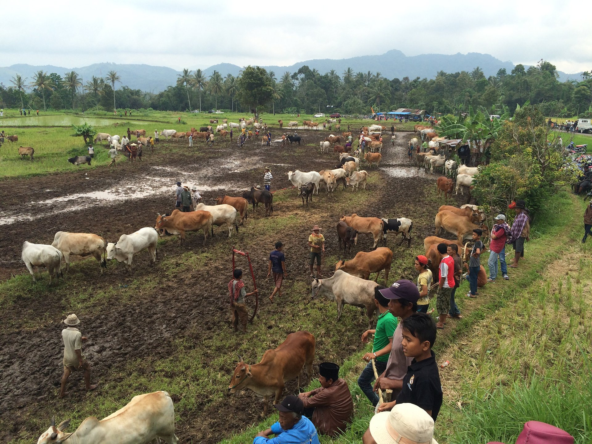 Pacu Jawi (Cow Race) in Indonesia - Best Season 2020