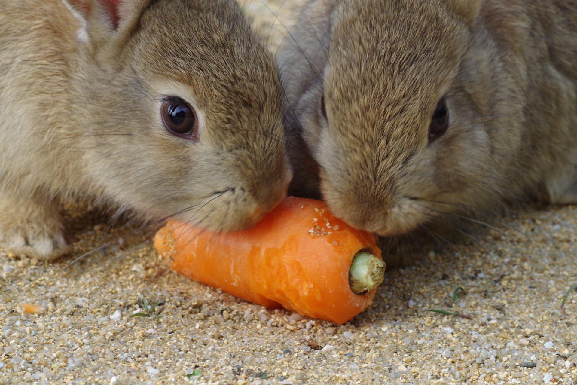 Best time for Okunoshima (Rabbit Island) in Japan 2020