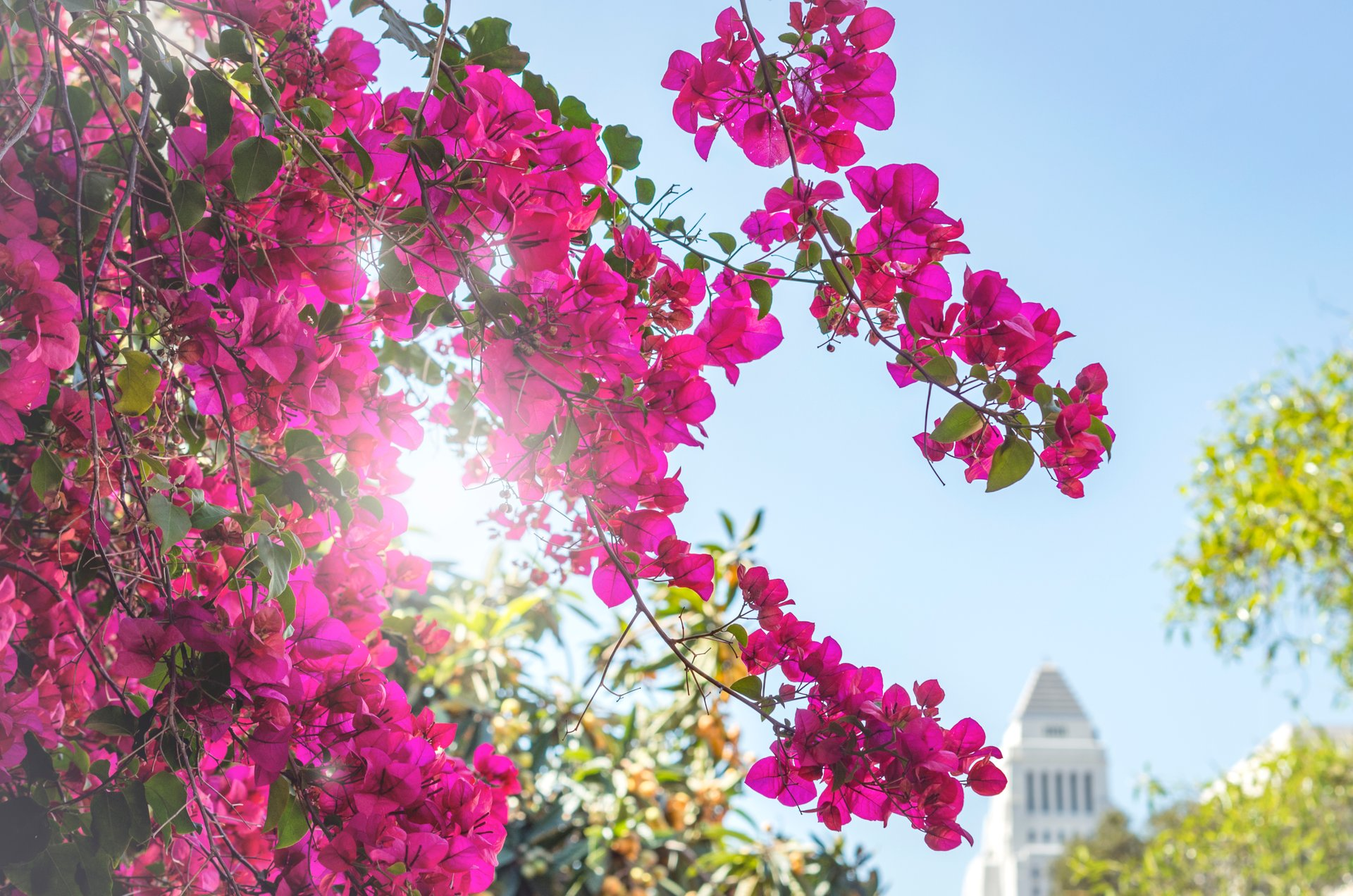 Bougainvillea Bloom in Los Angeles 2020 - Best Time