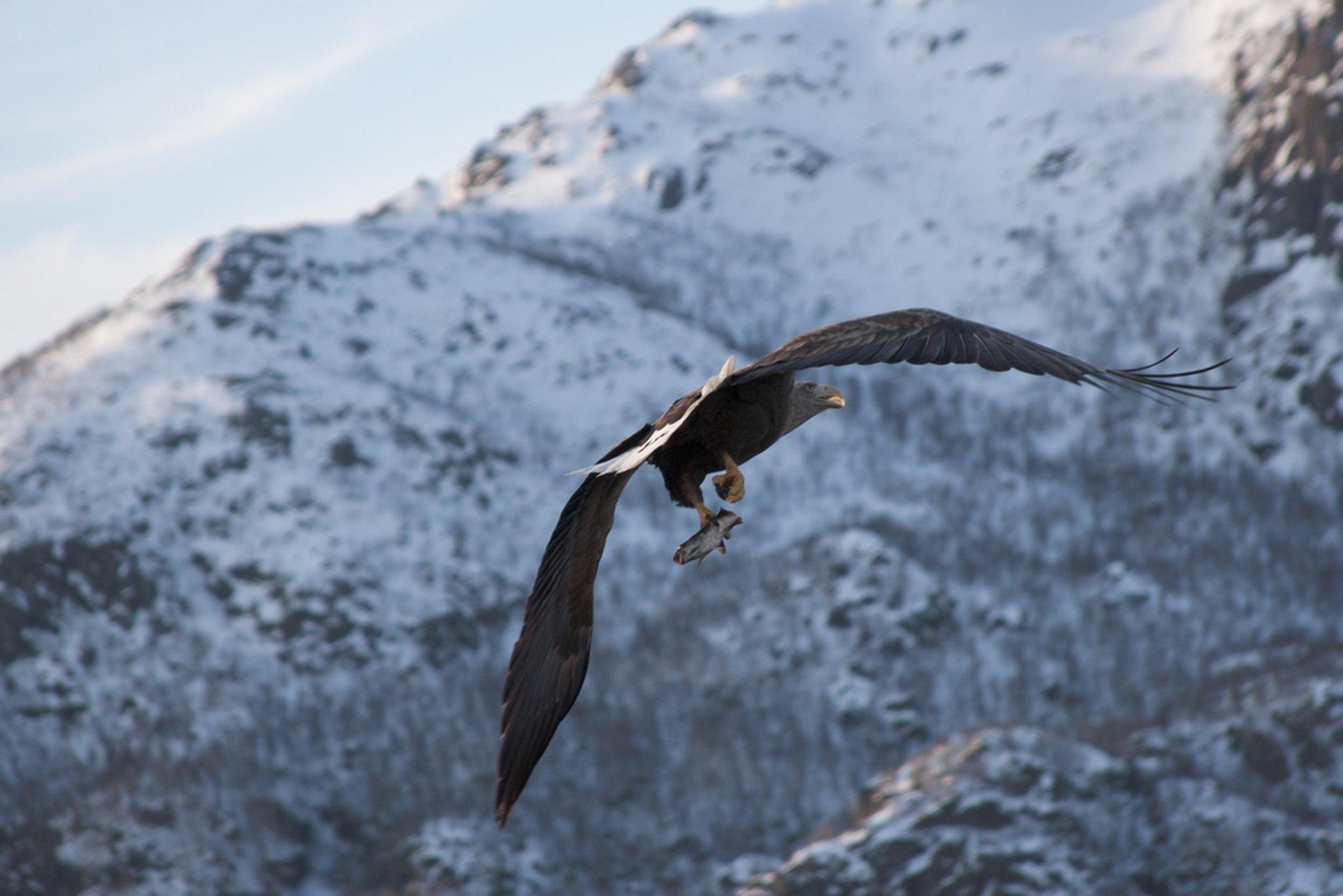 White-tailed eagle 2020