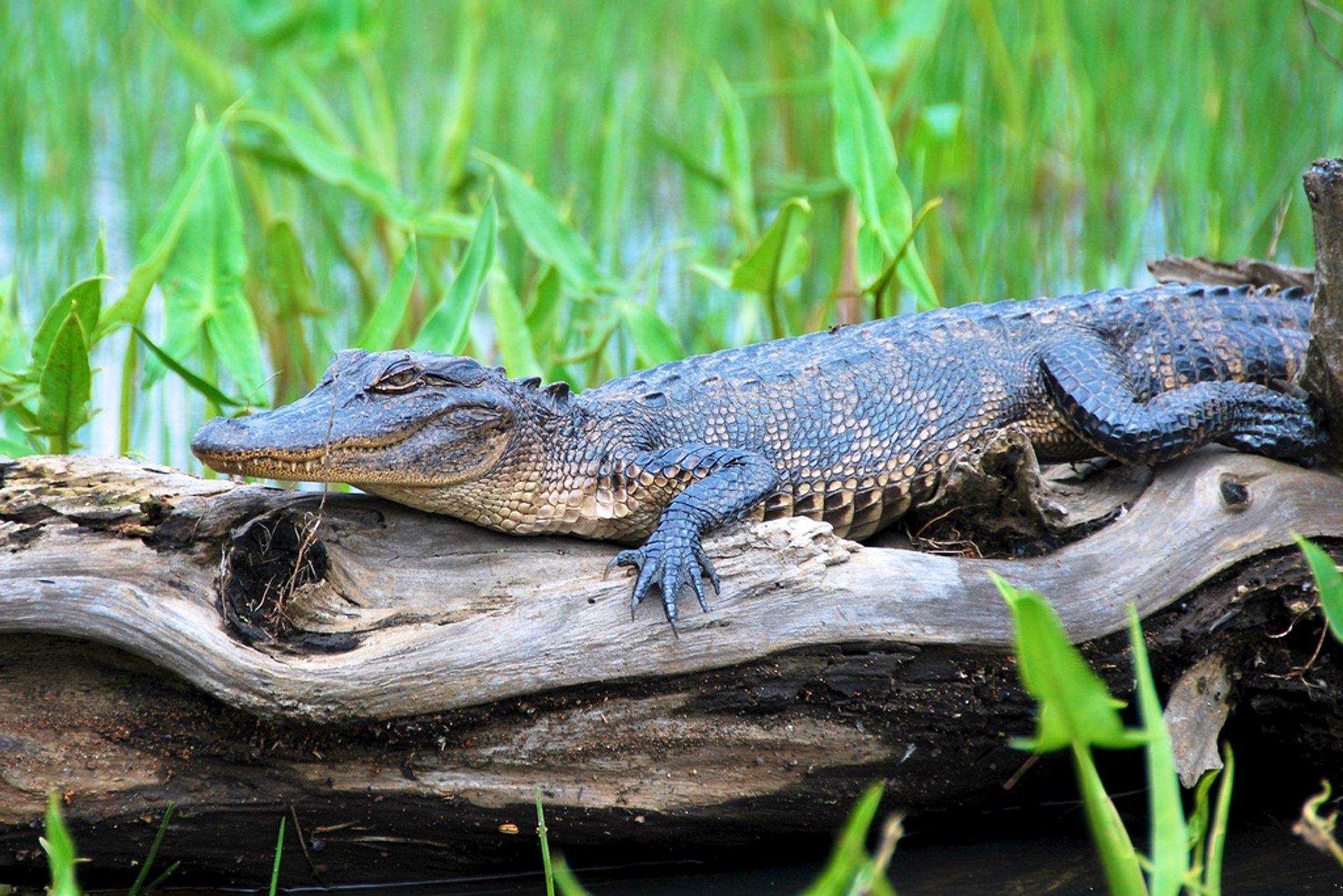 Alligator at Honey Island Swamp 2020