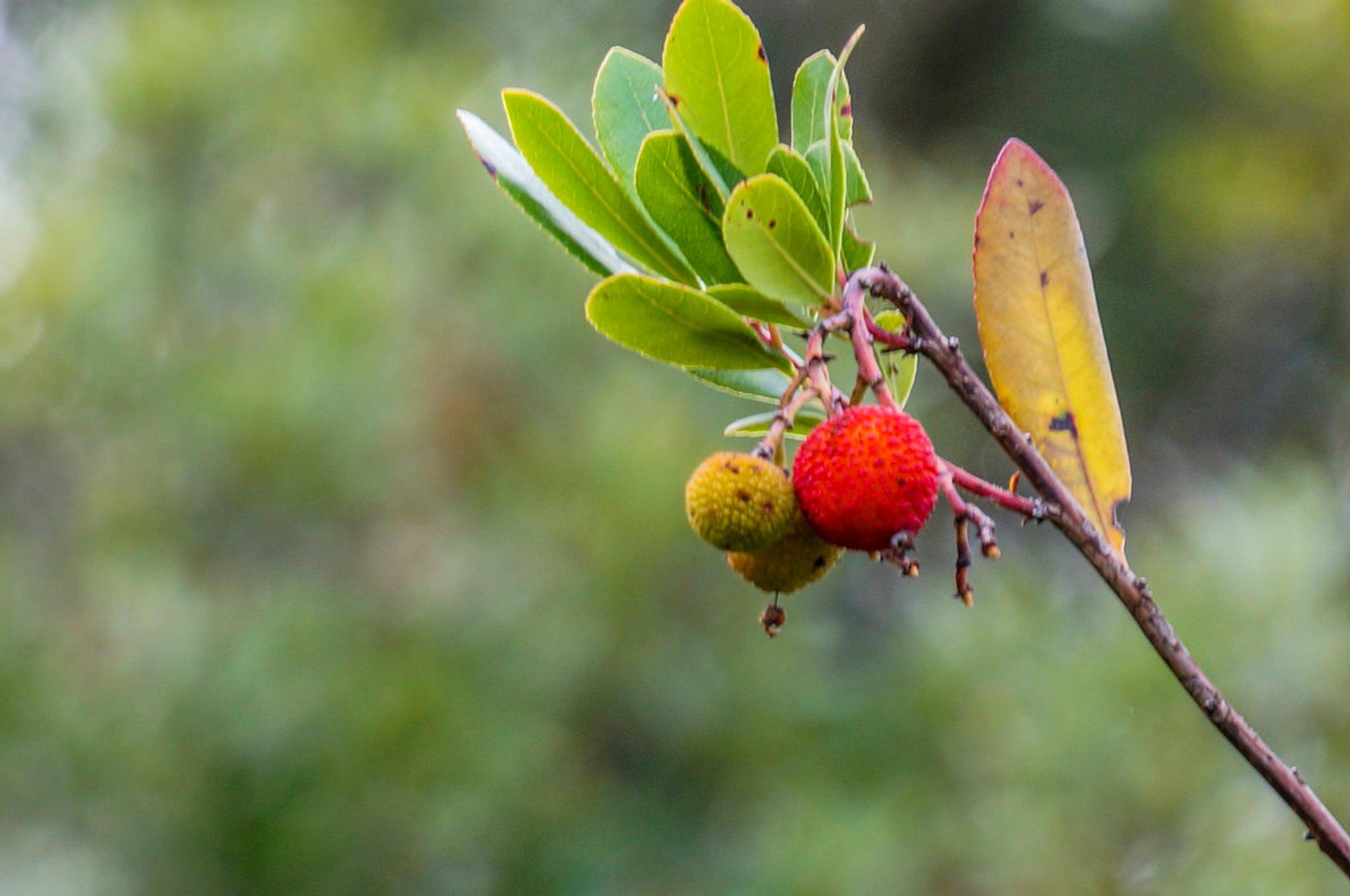 Wild Strawberries (Koca Yemiş) in Turkey 2020 - Best Time