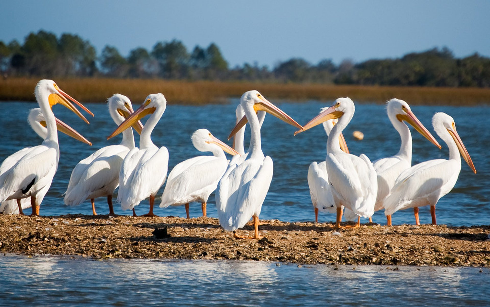 White Pelicans in Florida - Best Season 2020