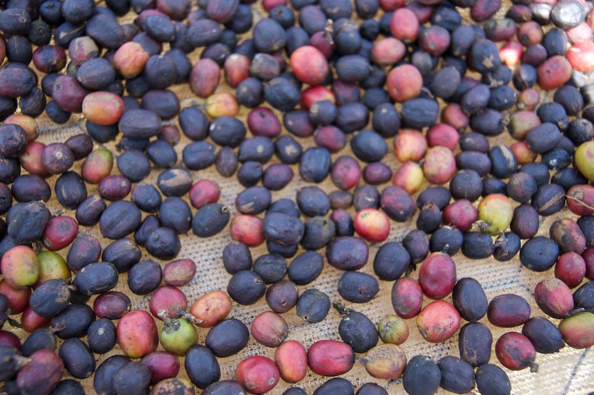 Coffee Harvest in Kenya 2019 - Best Time