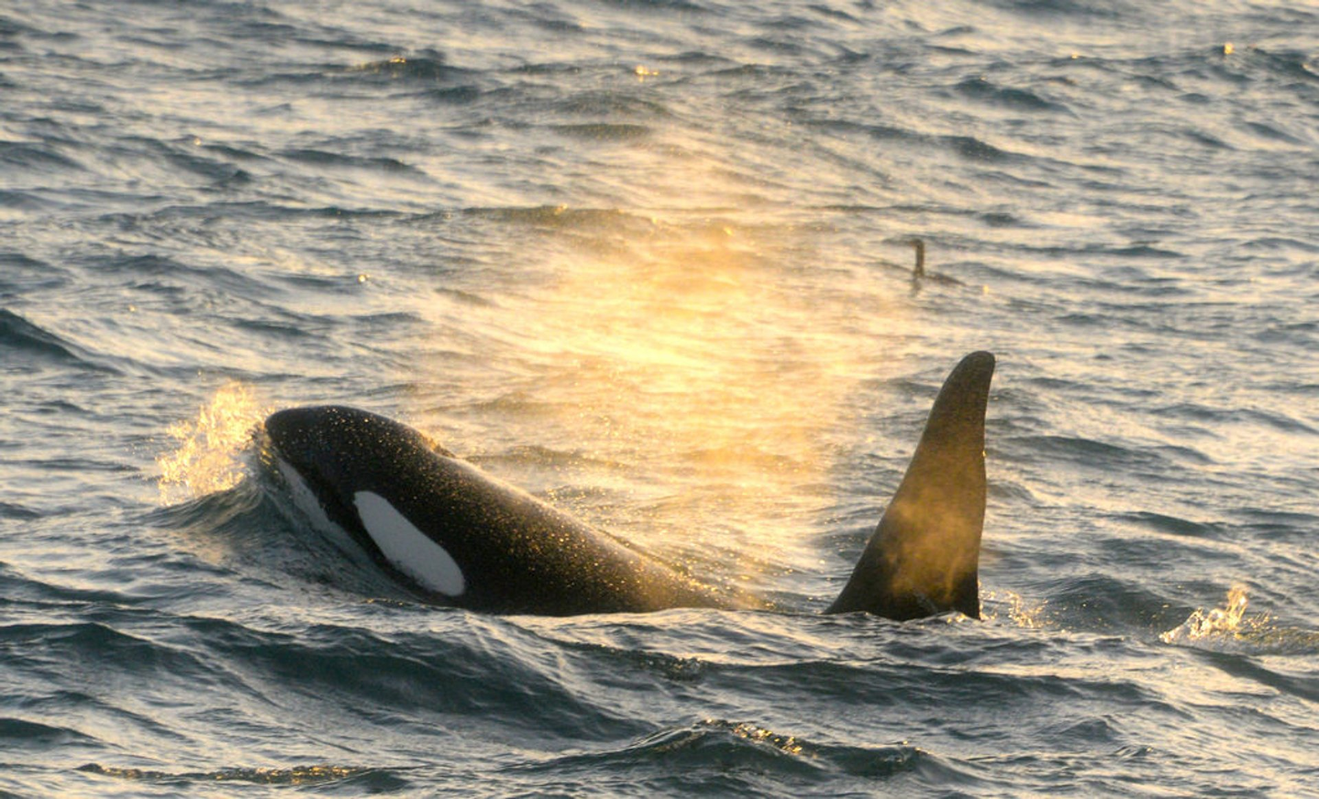Orca (Killer) Whale Watching in Iceland 2020 - Best Time