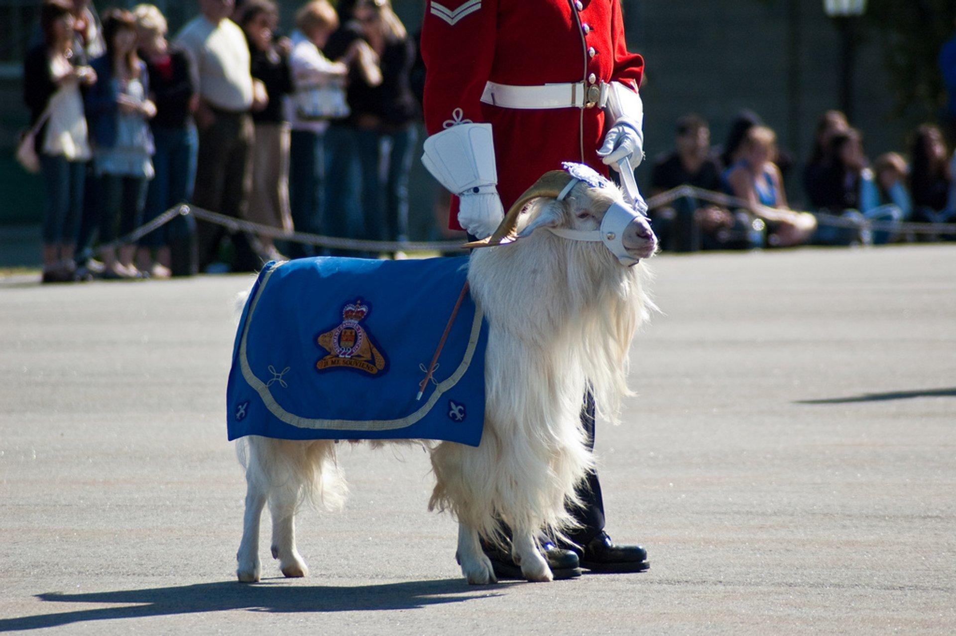 Regimental mascot Batisse the Goat 2020