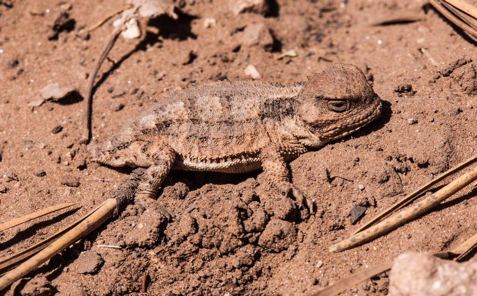 Baby horned lizard remained motionless in the dusty road near the Grand Canyon, Arizona, USA 2020