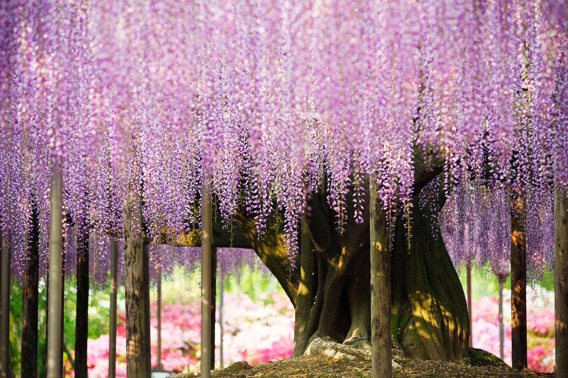 Best time for Wisteria Tunnels in Japan 2020
