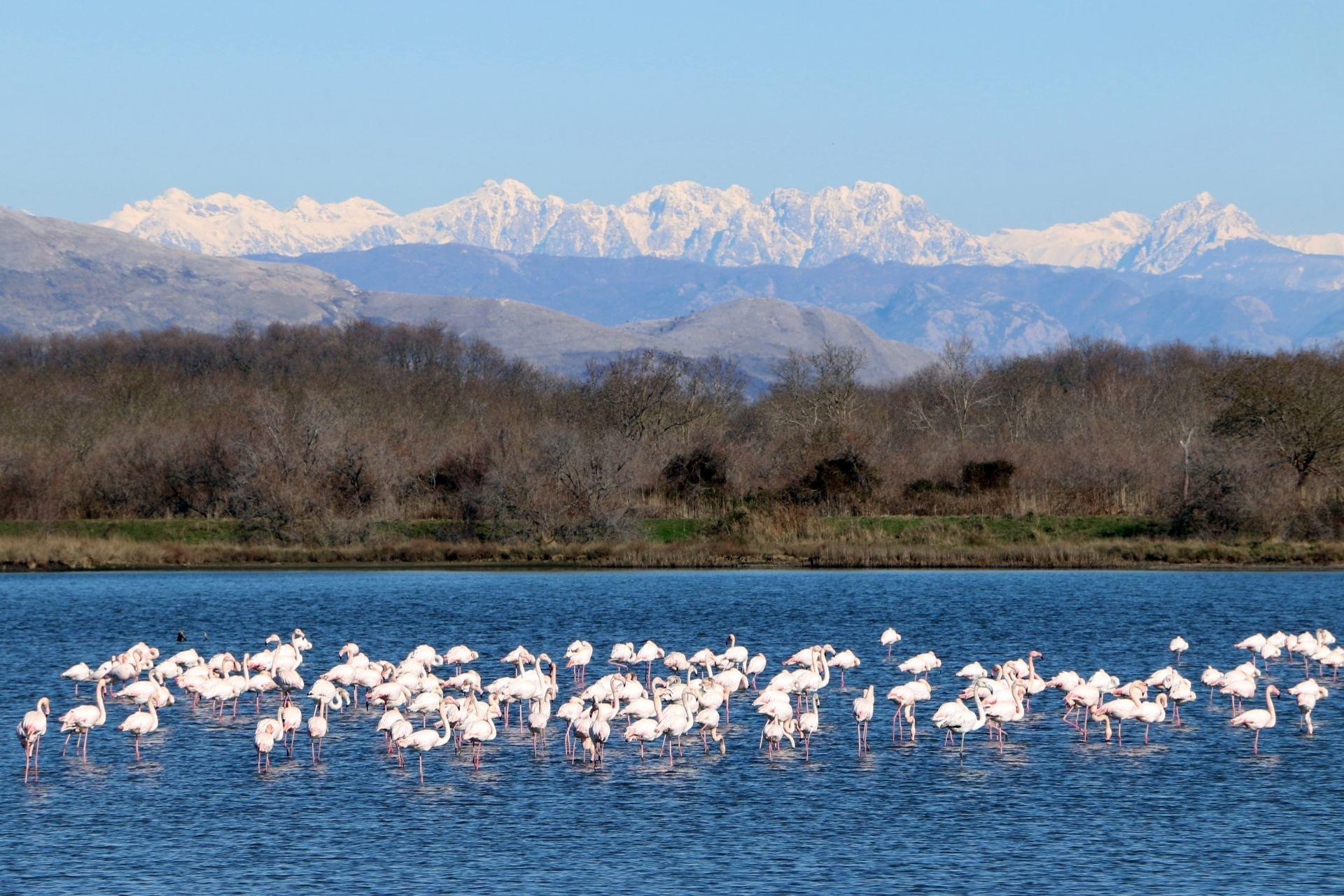 Flamingoes in Ulcinj in Montenegro - Best Season 2019