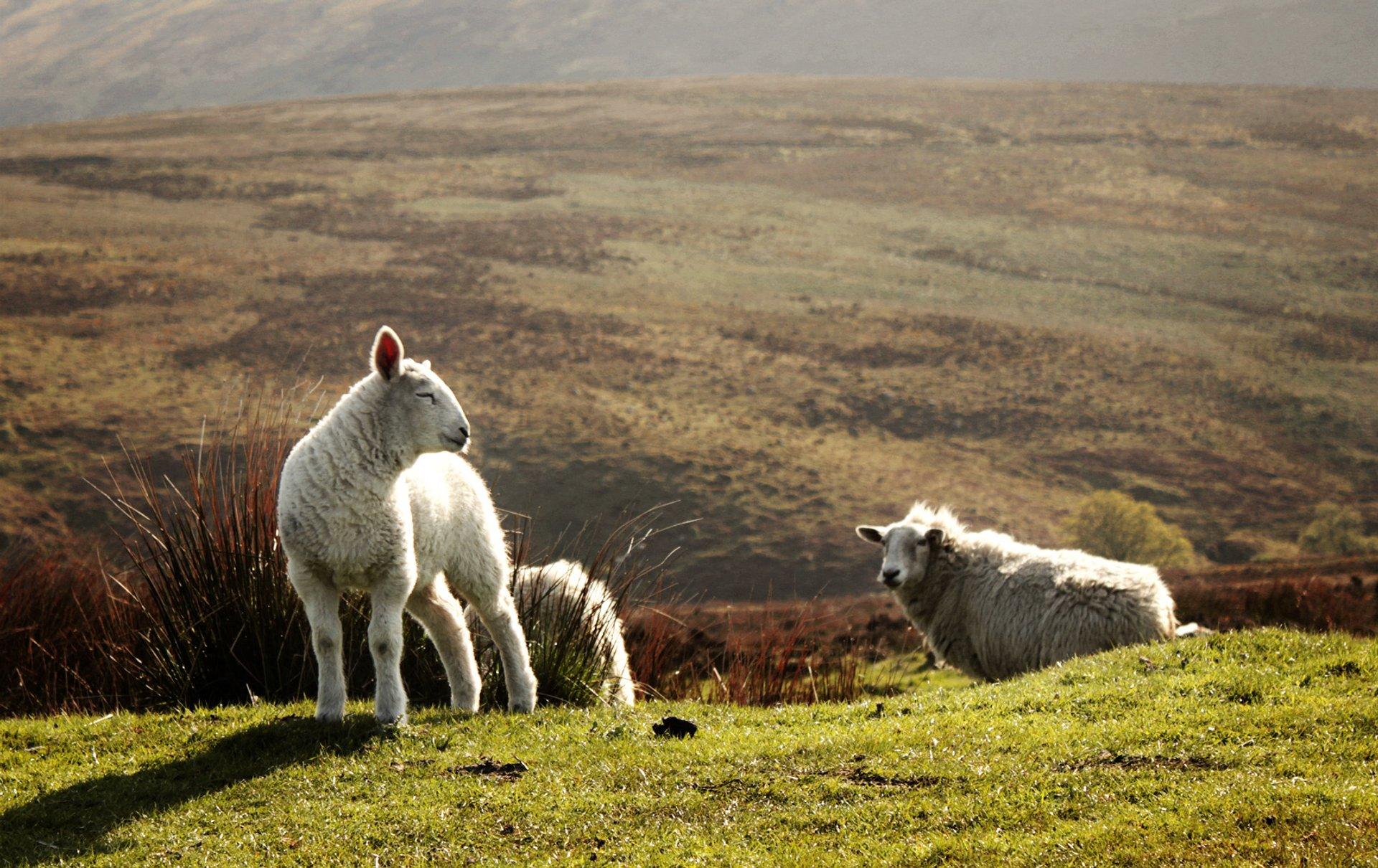 Best Time for Lambing Season in Ireland 2020 - When