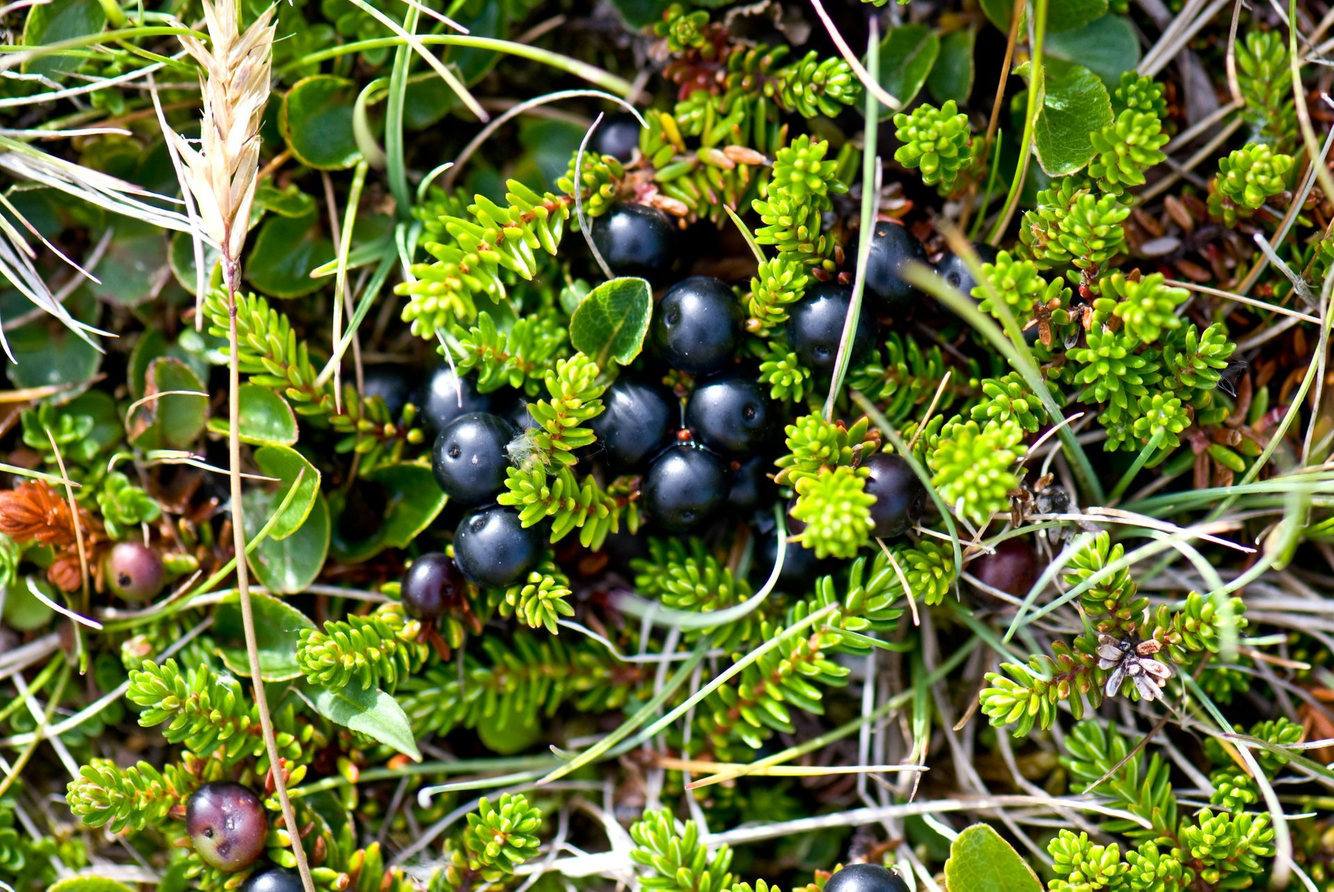 Wild Berries Season in Iceland 2020 - Best Time