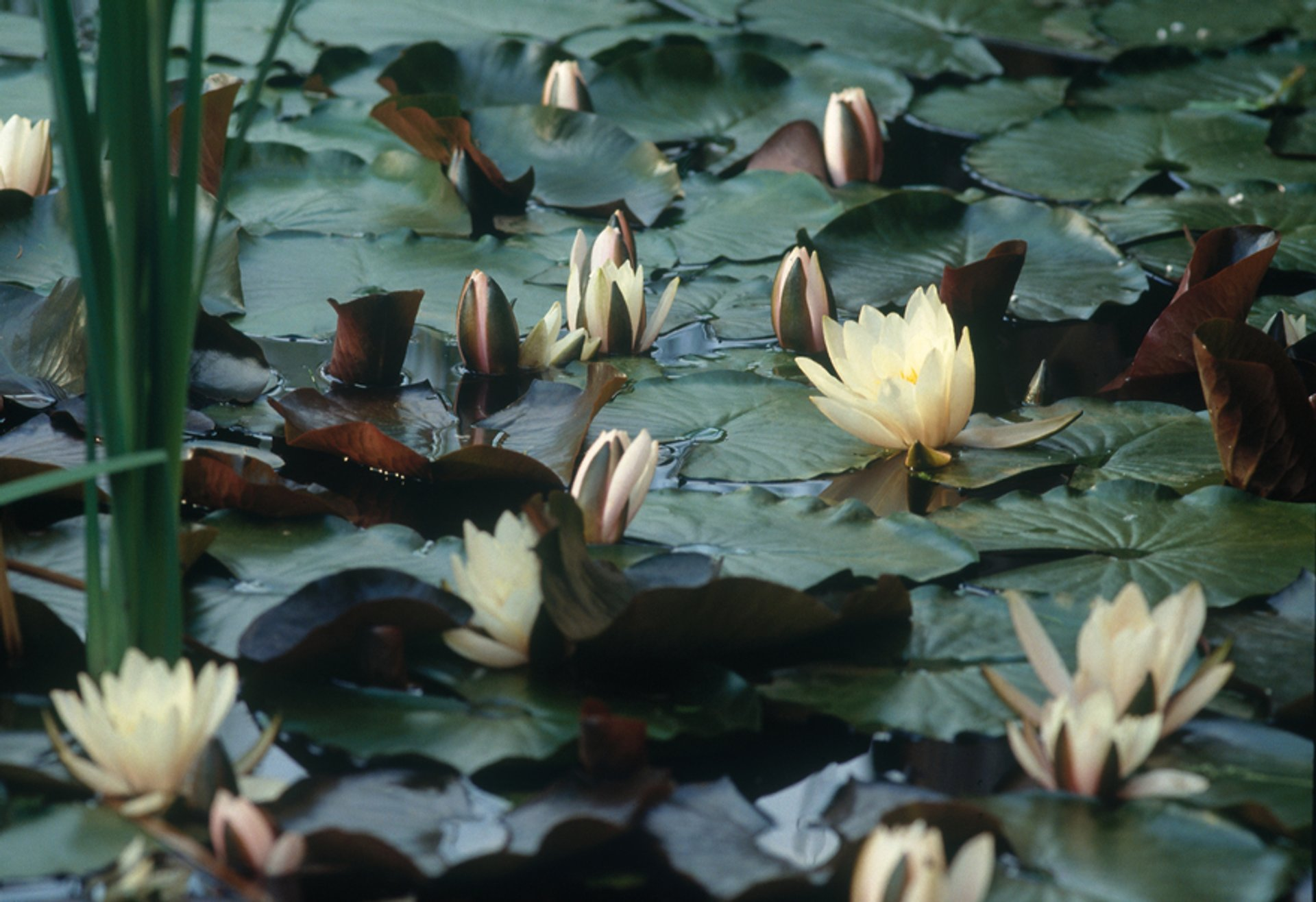 Water Lilies in Austria 2020 - Best Time