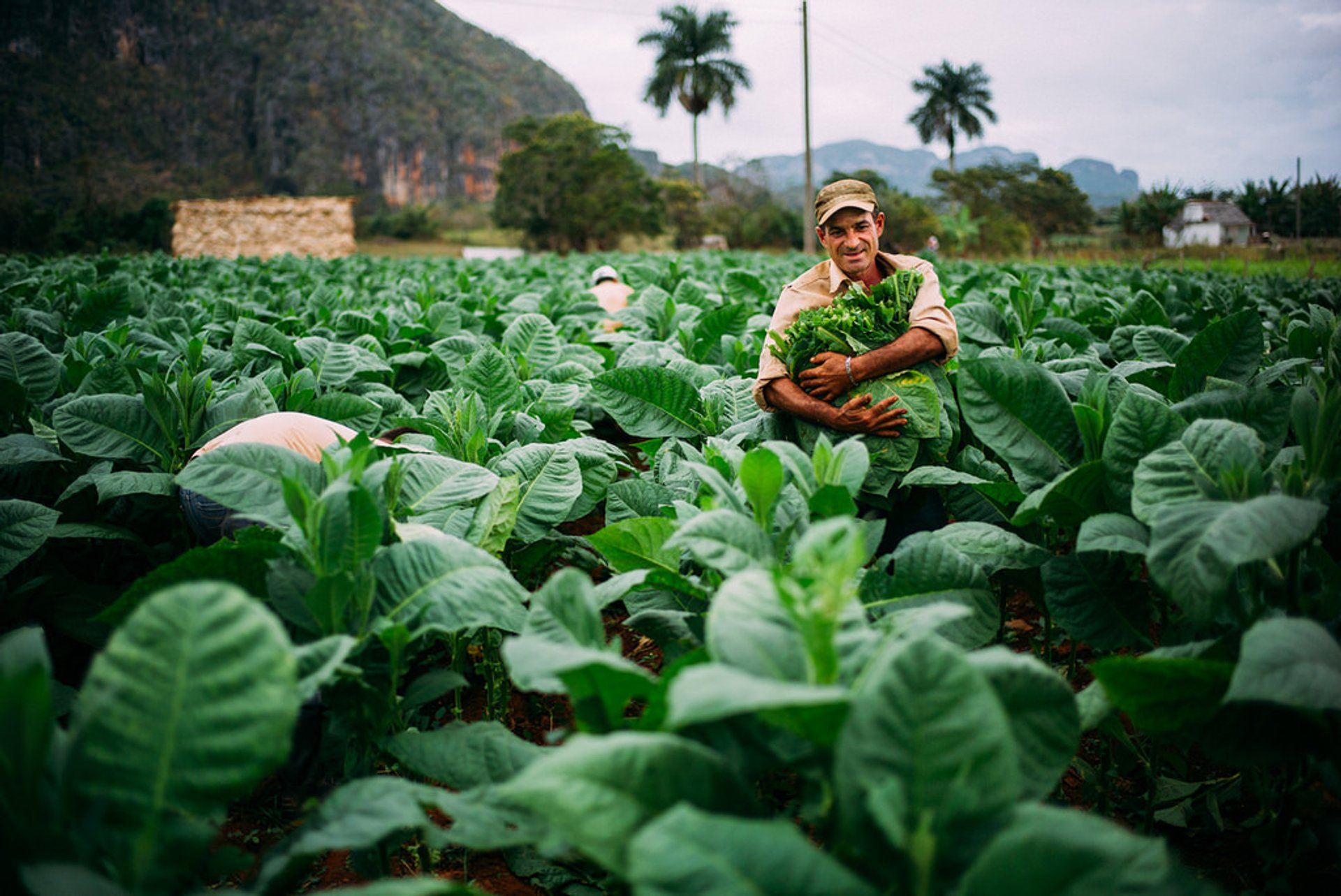 Tobacco Harvest in Cuba 2020 - Best Time