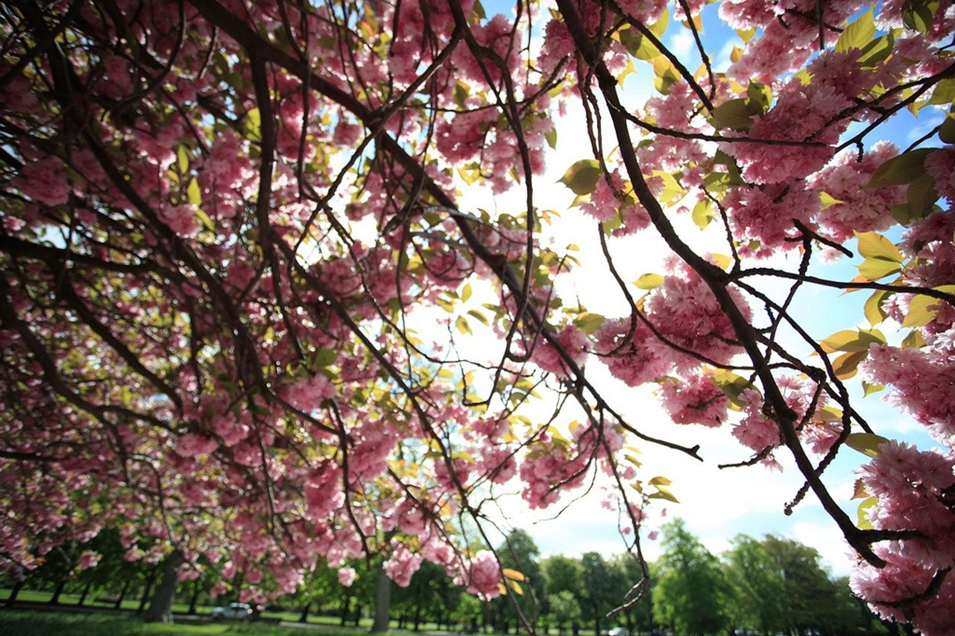 Cherry blossoms a Greenwich Park 2020