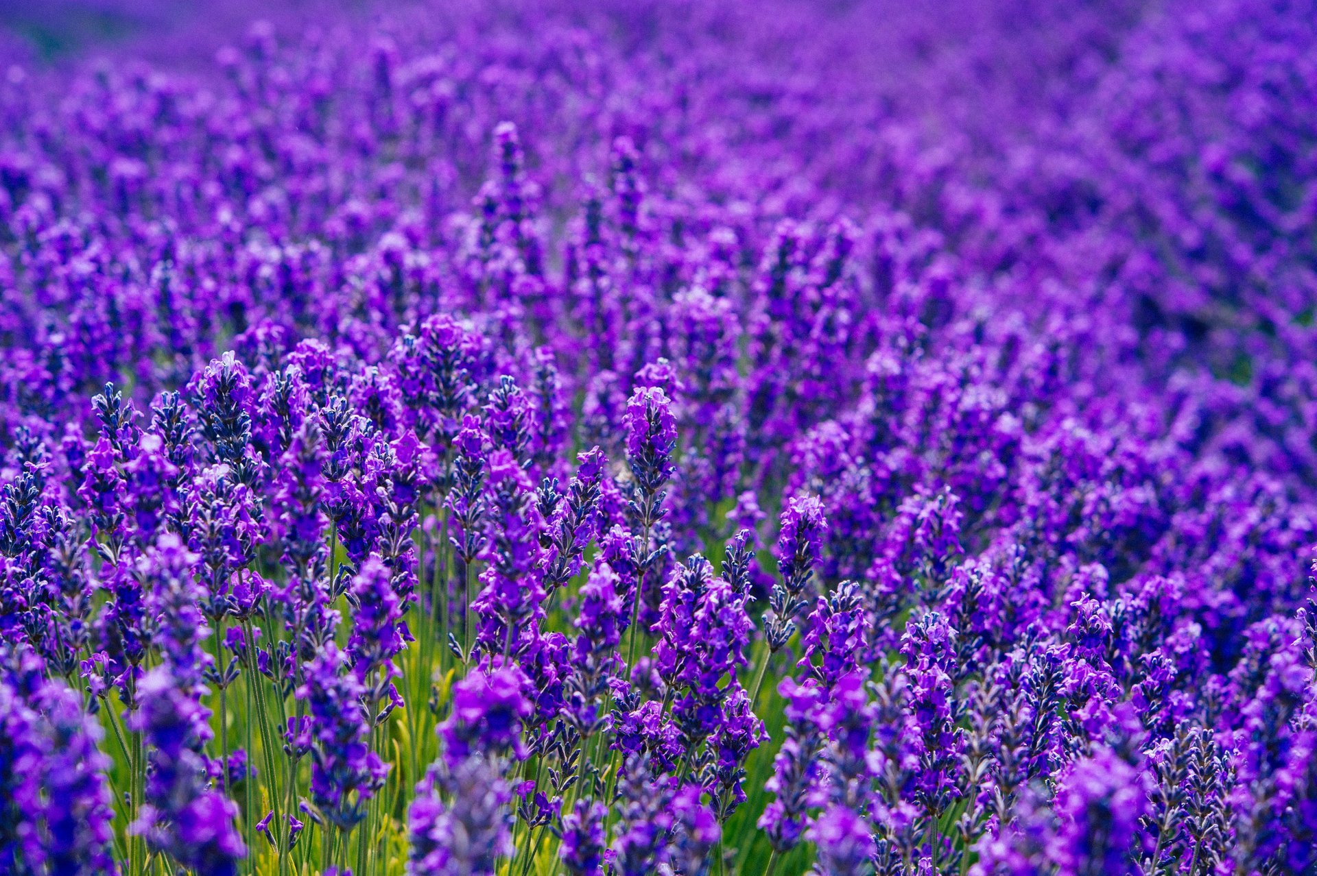 Sequim Lavender Festival in Washington 2020 - Best Time