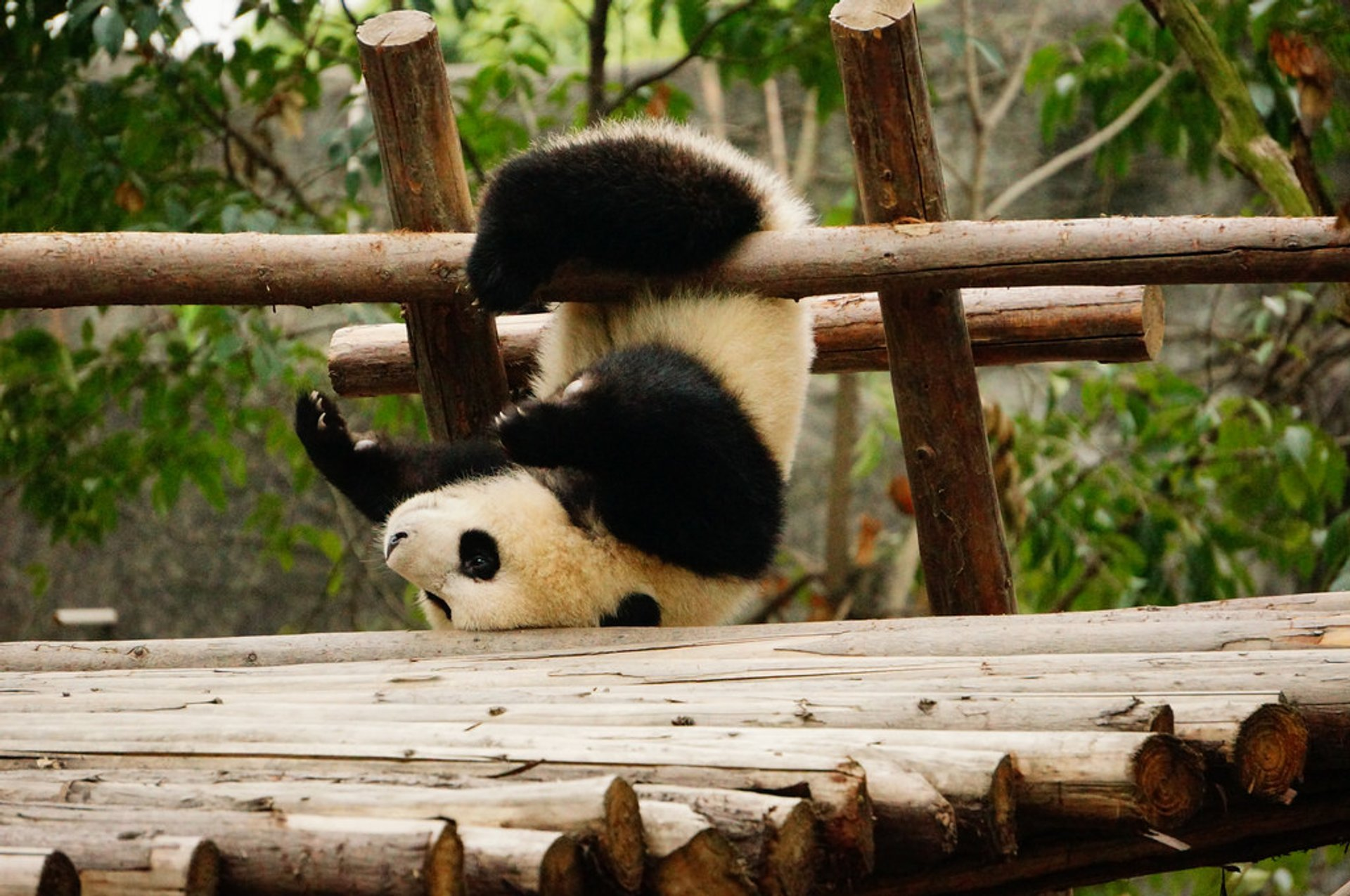 Best time for Giant Pandas in China 2020