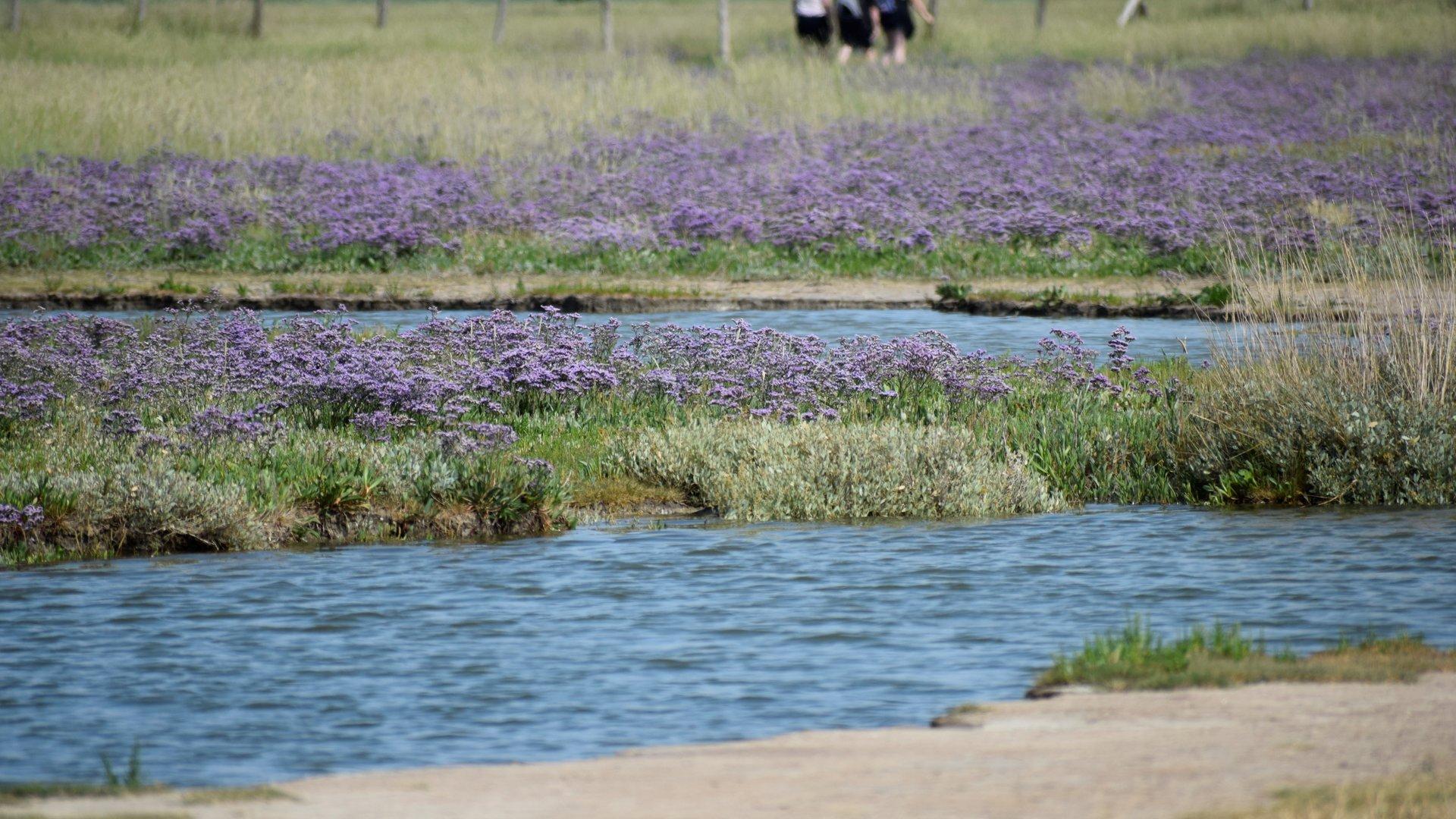 Best time to see Sea Lavender (Lamsoor) in the Zwin in Belgium 2020