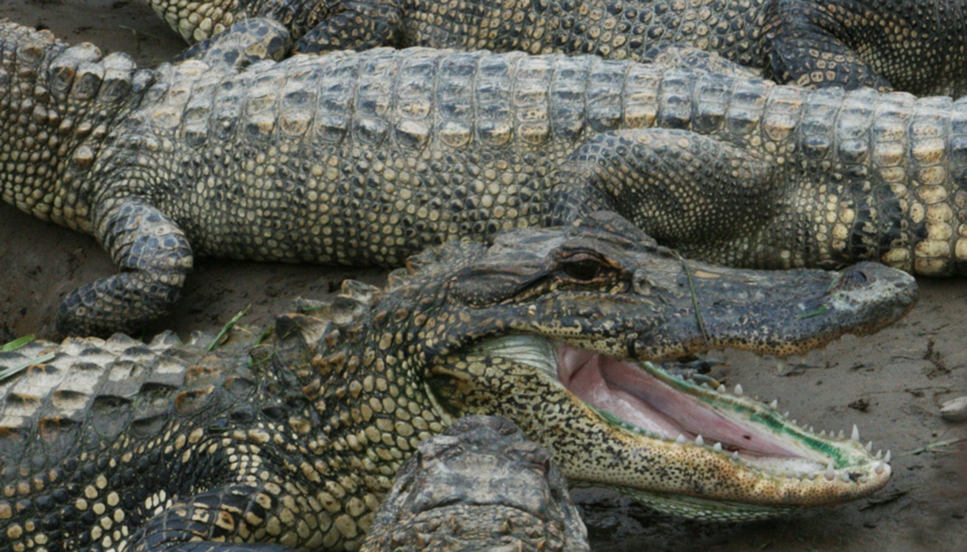 Alligators in Texas 2020 - Best Time