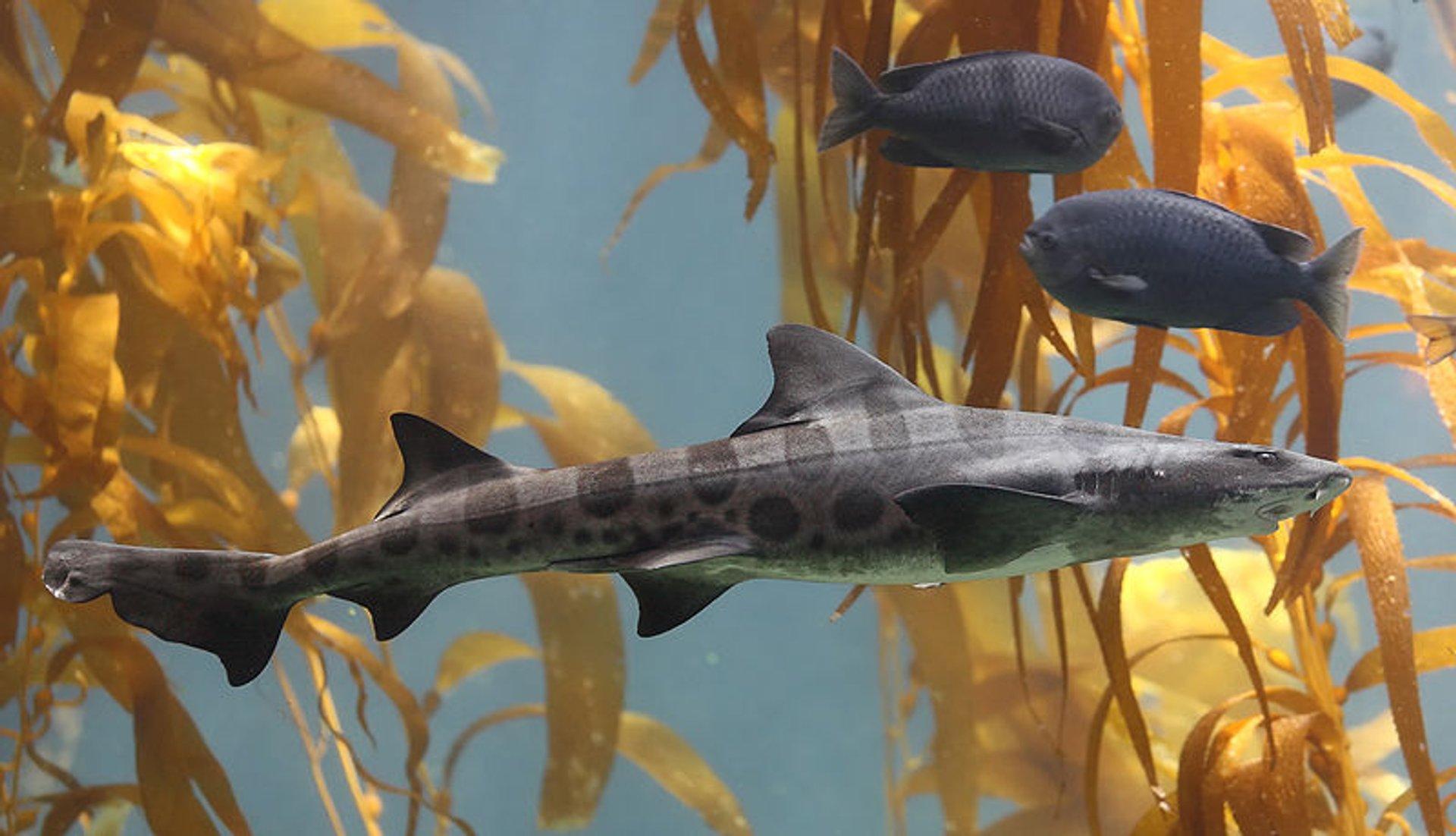 Snorkeling with Leopard Sharks at La Jolla in San Diego - Best Season