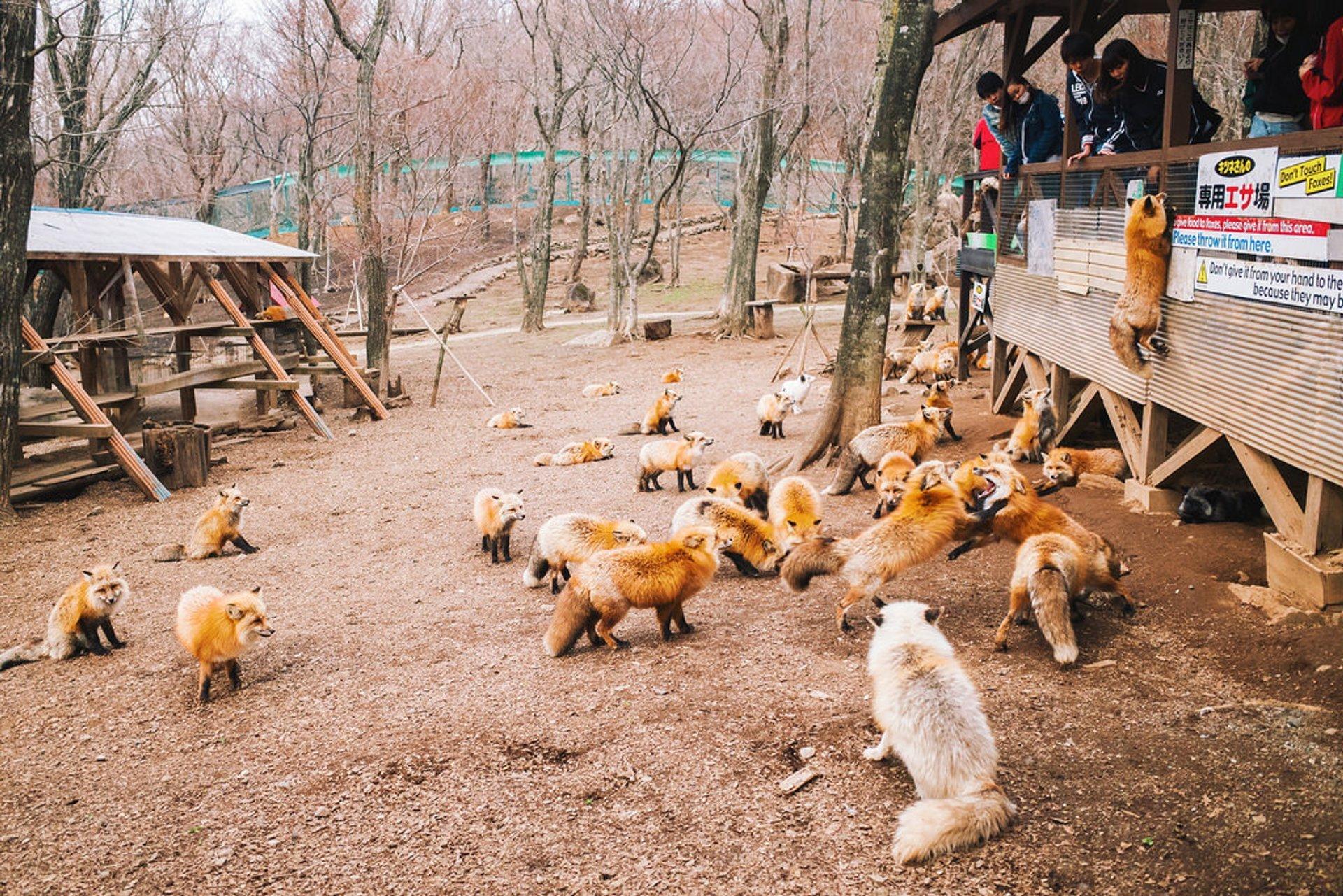 Zao Fox Village in Japan - Best Season
