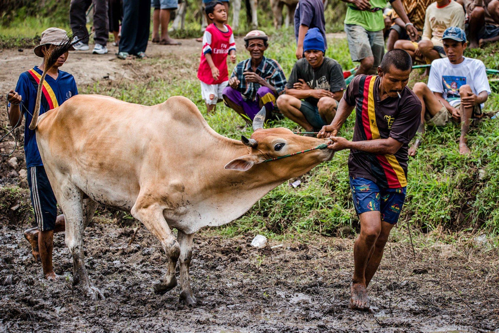 Pacu Jawi Final, 2015 2019