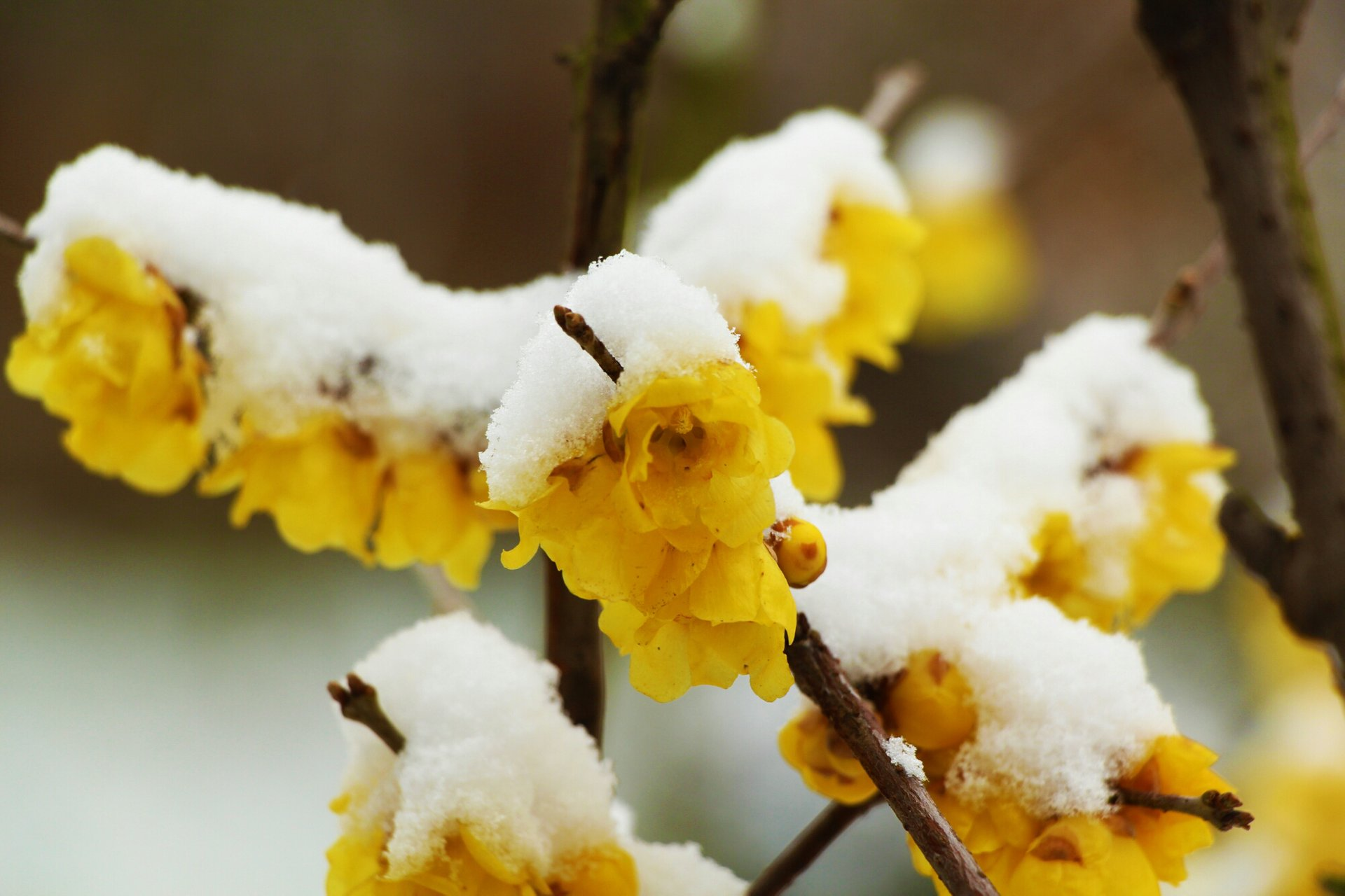 Wintersweet in Bloom in China - Best Season 2020