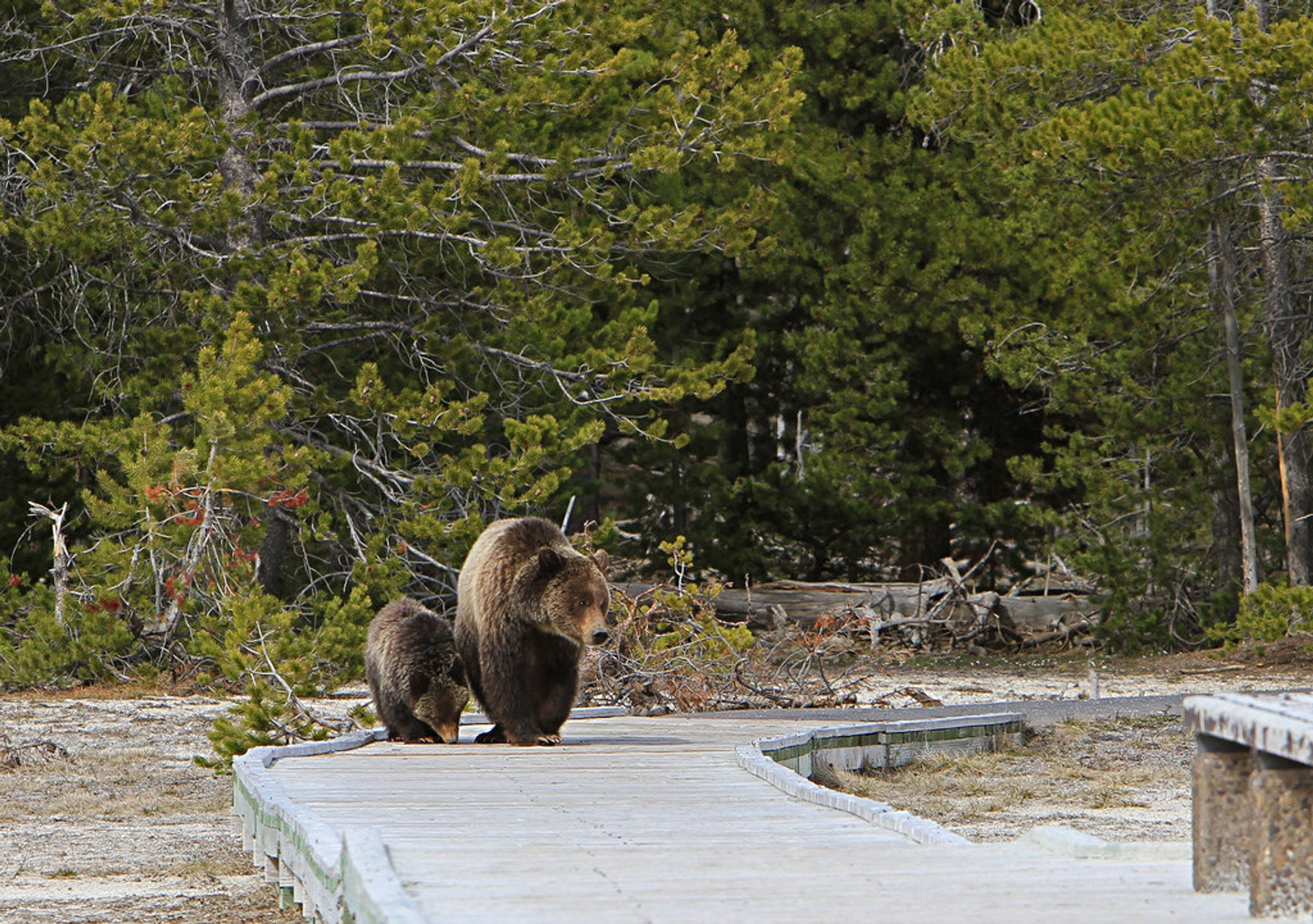 Grizzly bears on boardwalk near Daisy geyser 2019