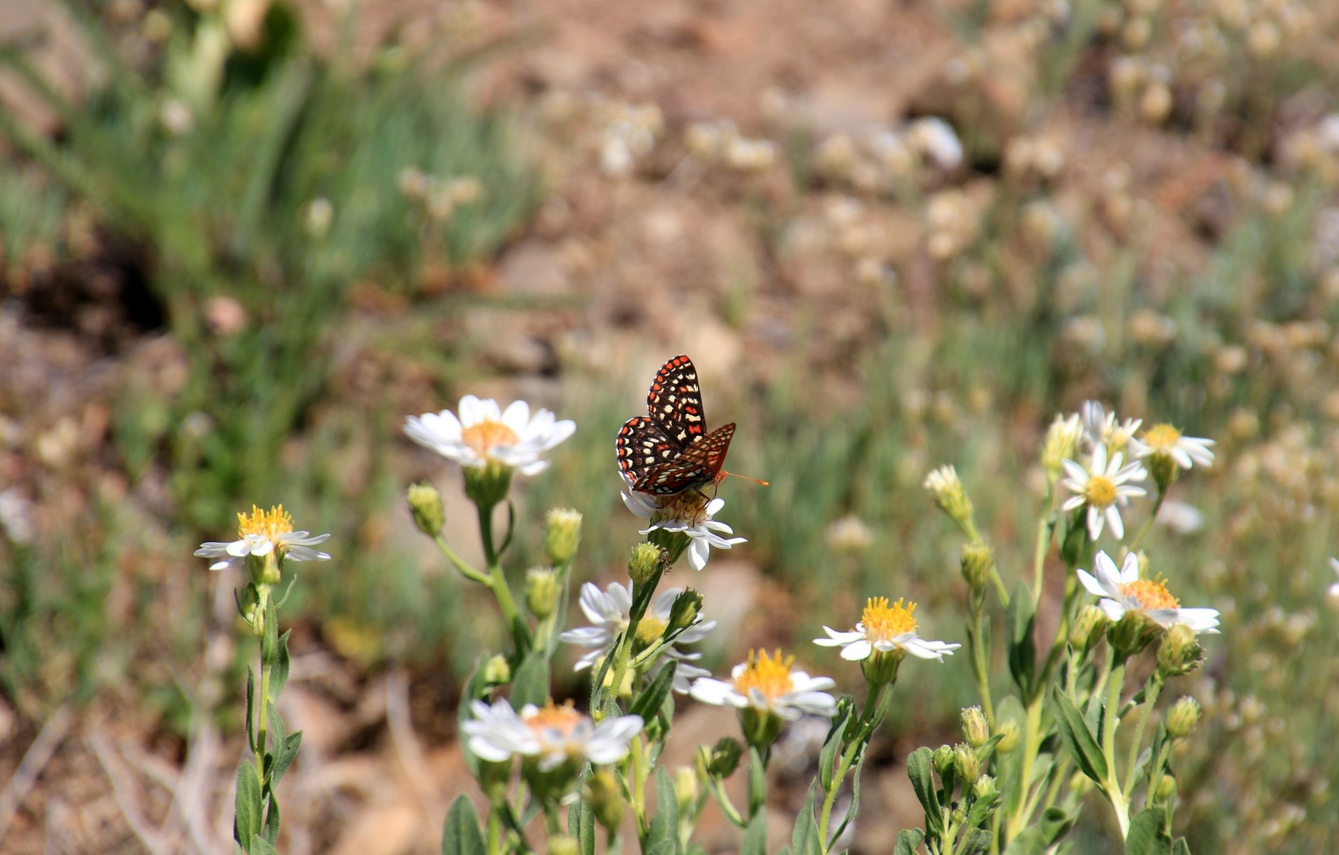 Edith's Checkerspot Butterfly at Mt. Olympic National Park 2020