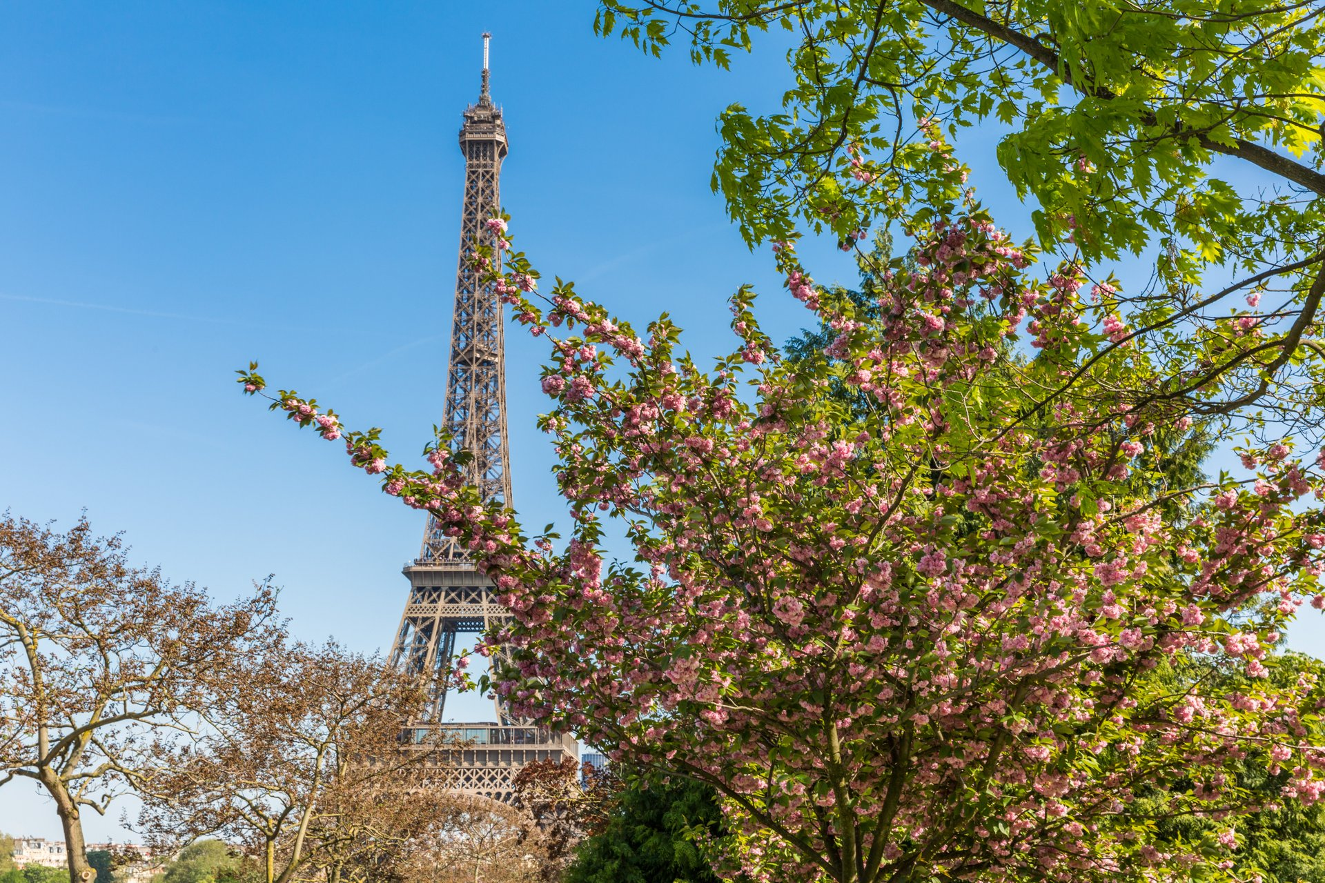 Cherry blossom and Eiffel Tower 2019