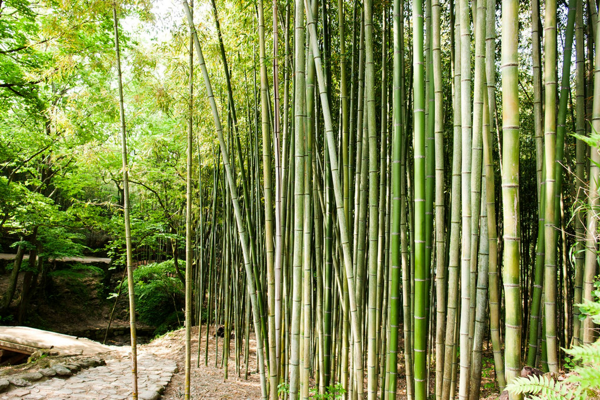 Bamboos of Damyang 2020