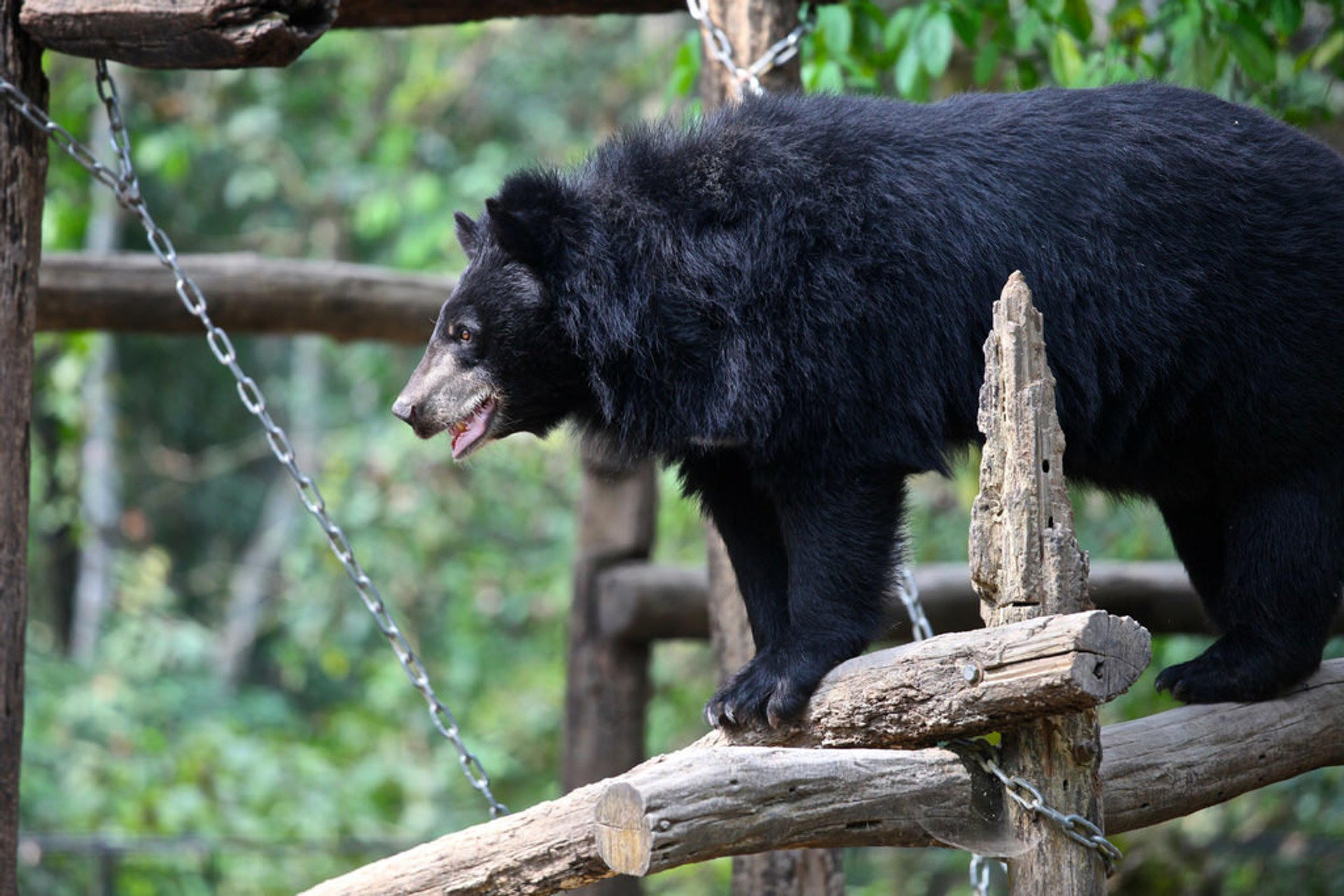Asian Black Bear in Laos 2020 - Best Time
