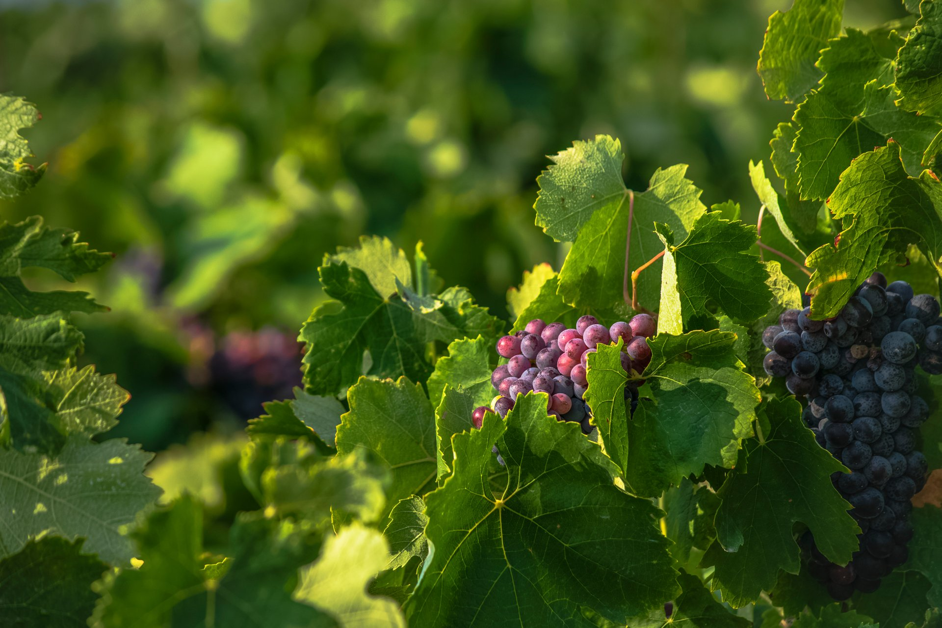 Grape Harvest in Crete - Best Season 2019