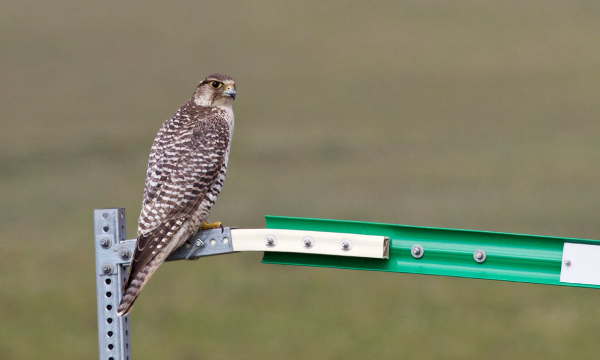 Gyrfalcon, North Slope Borough, Alaska 2019