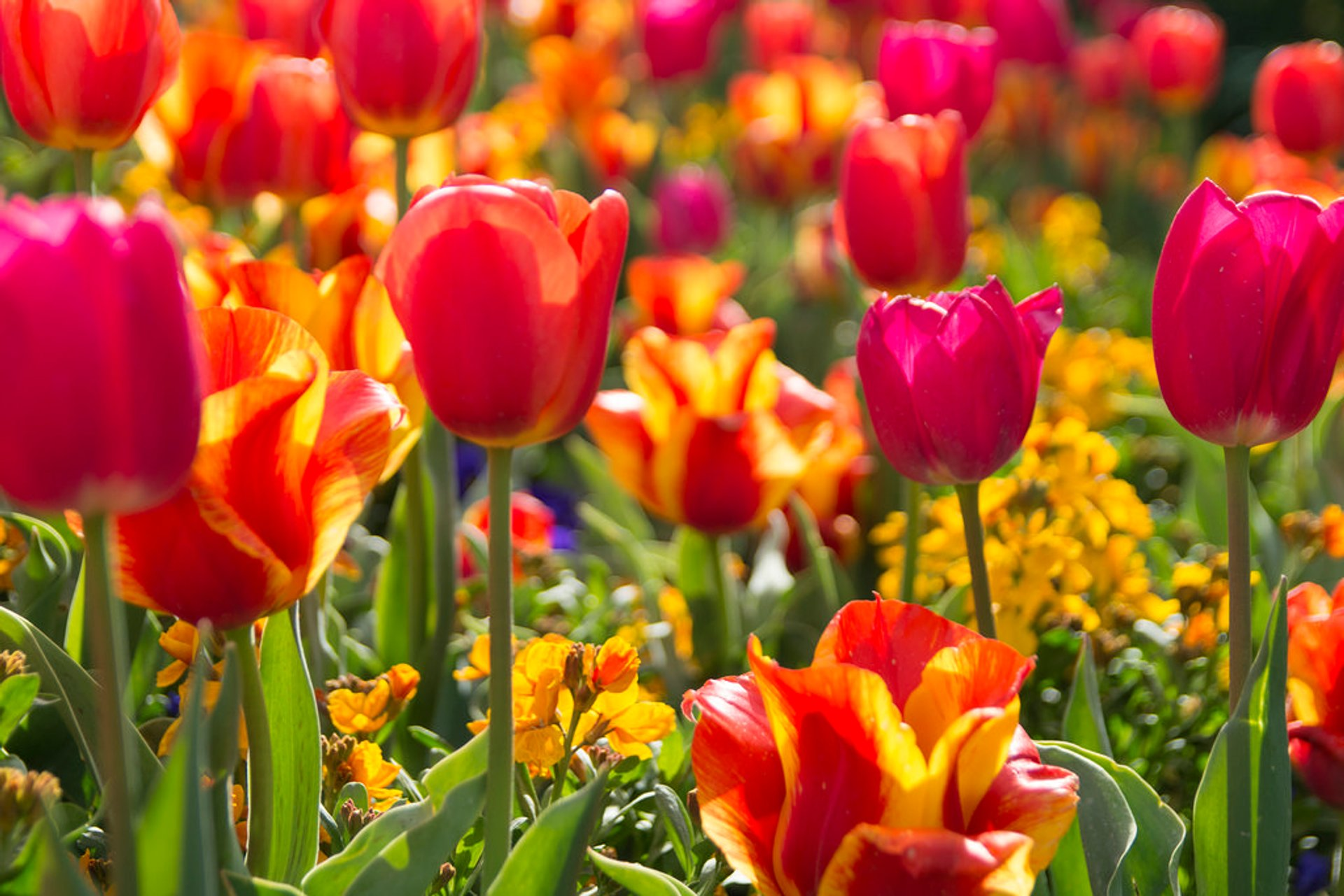 Best time for Tulip Festival at Thanksgiving Point in Utah 2020
