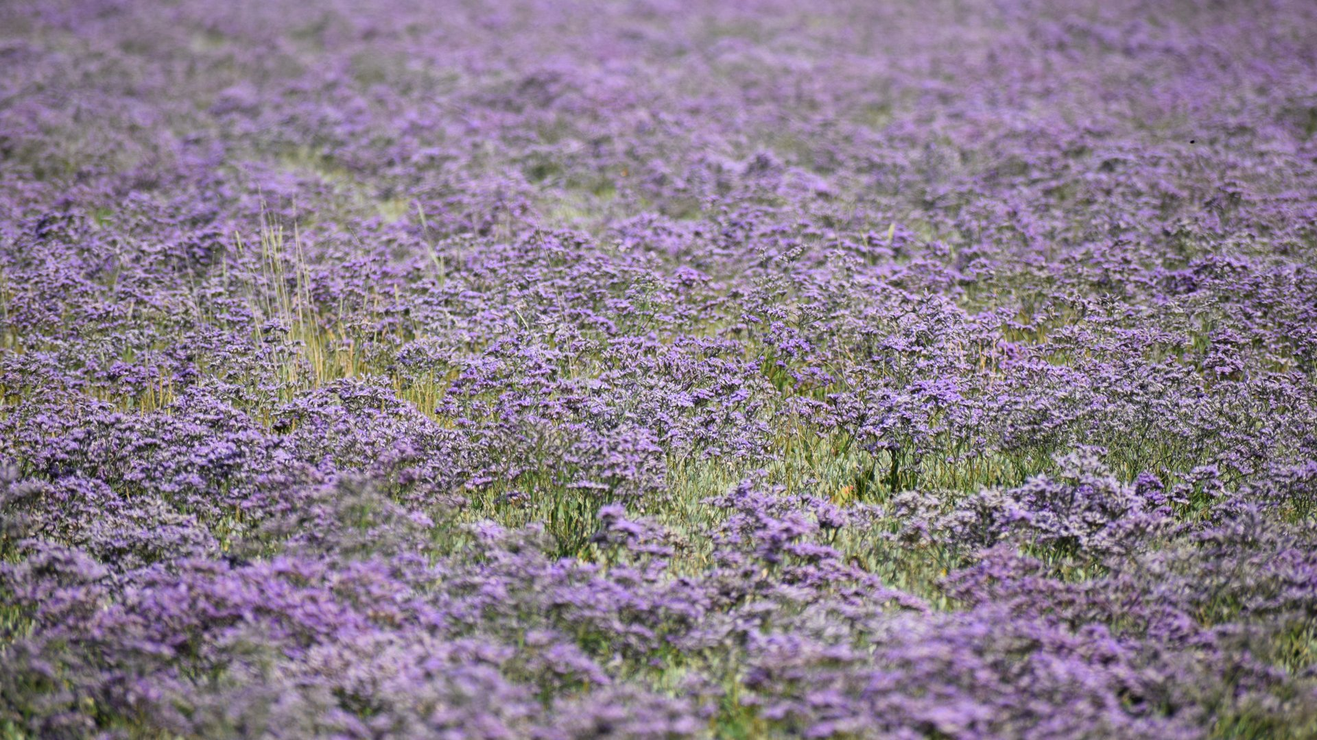 Sea Lavender (Lamsoor) in the Zwin in Belgium - Best Season 2020
