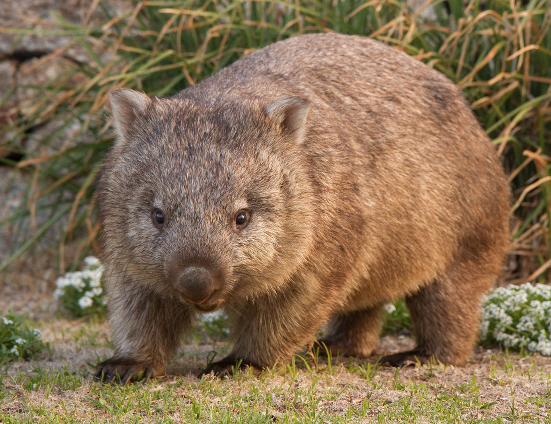 Wombat Watching in Victoria 2019 - Best Time