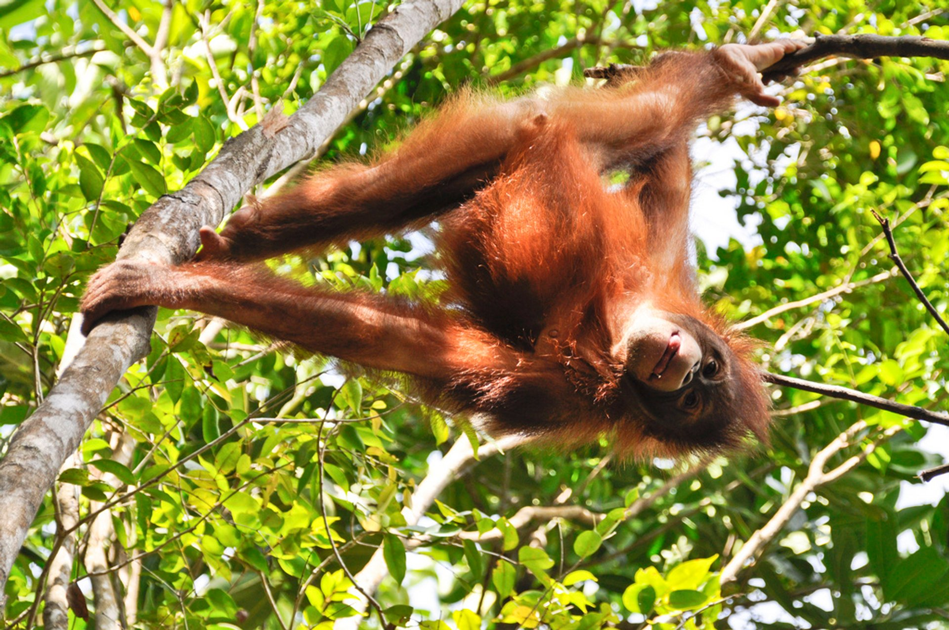 Watching Orangutans in Malaysia 2019 - Best Time