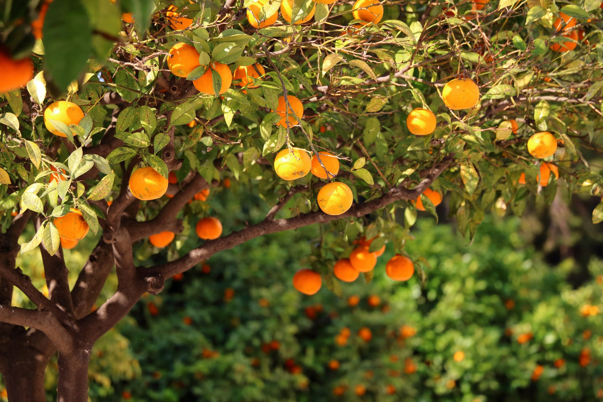 Oranges Season in Valencia - Best Time