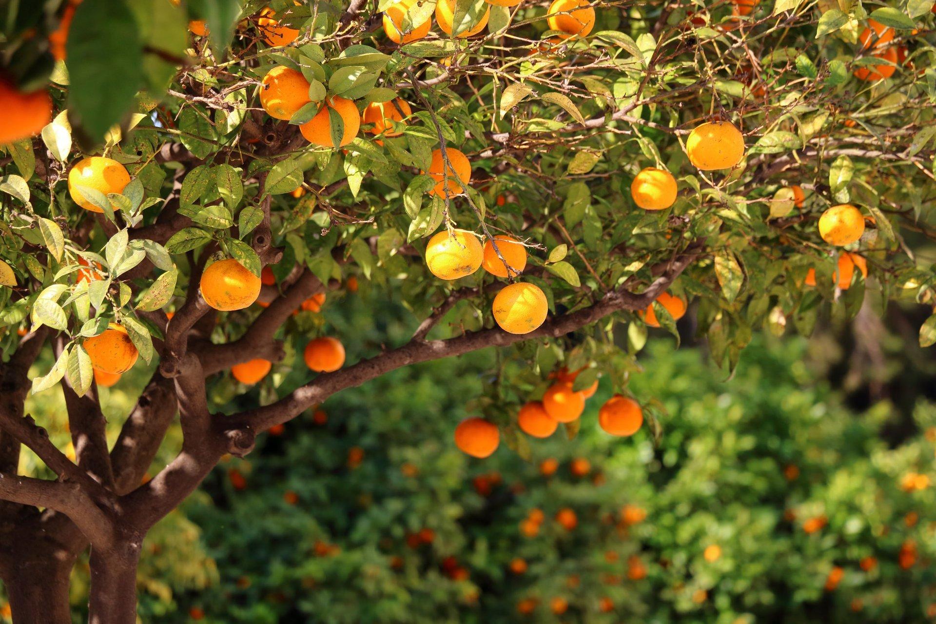 Oranges in Valencia 2019 - Best Time