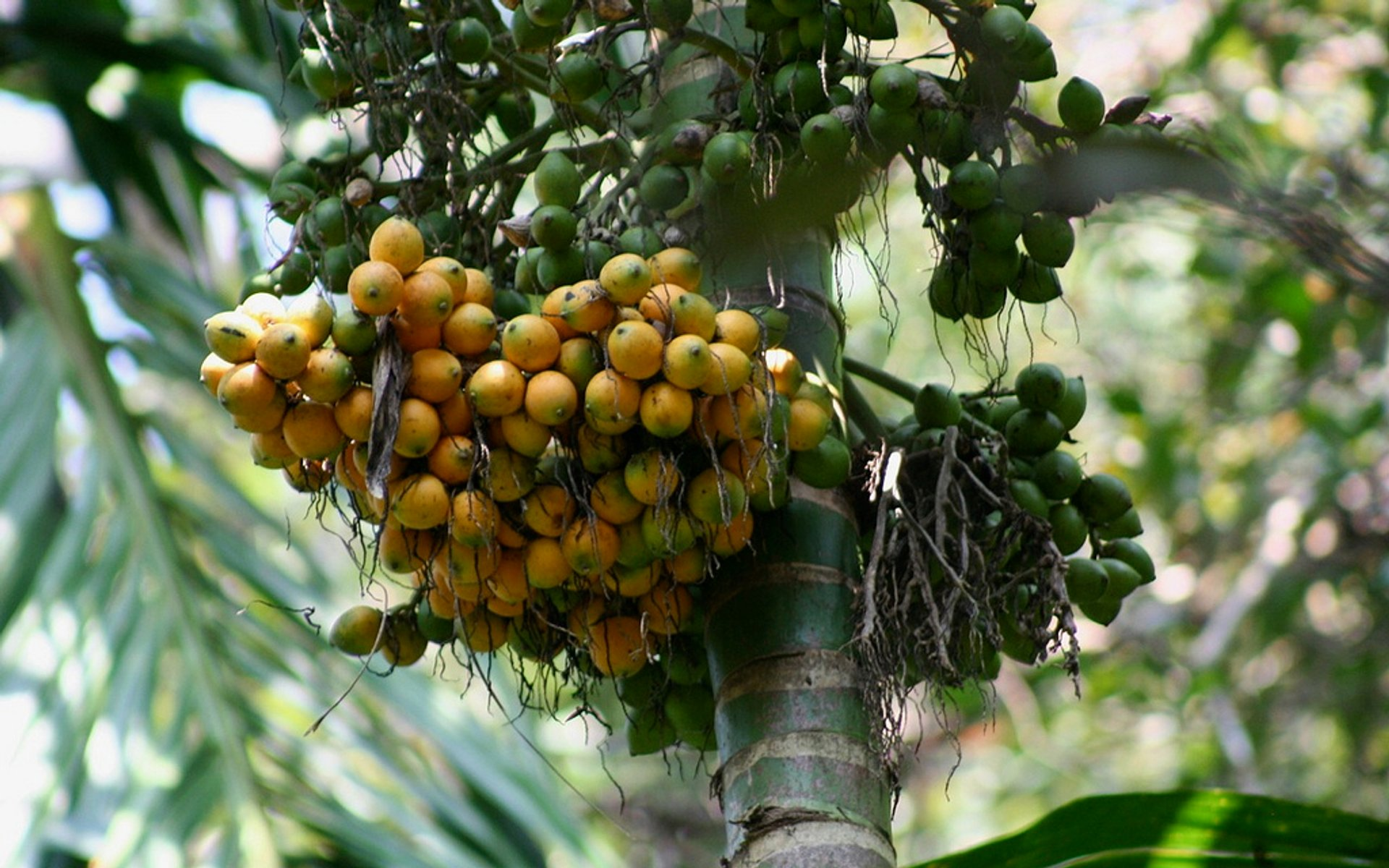 Areca nuts 2019