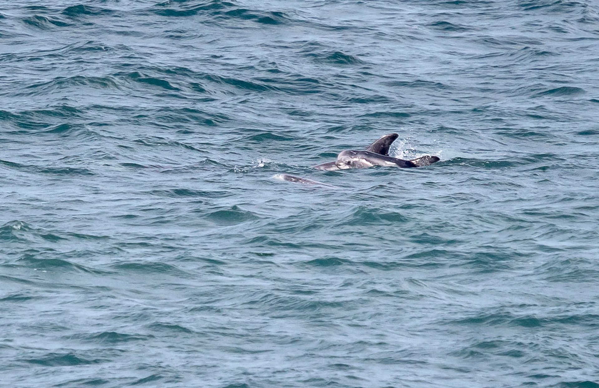Rissos Dolphins off the coast near Strumble Hd in Pembrokeshire 2020