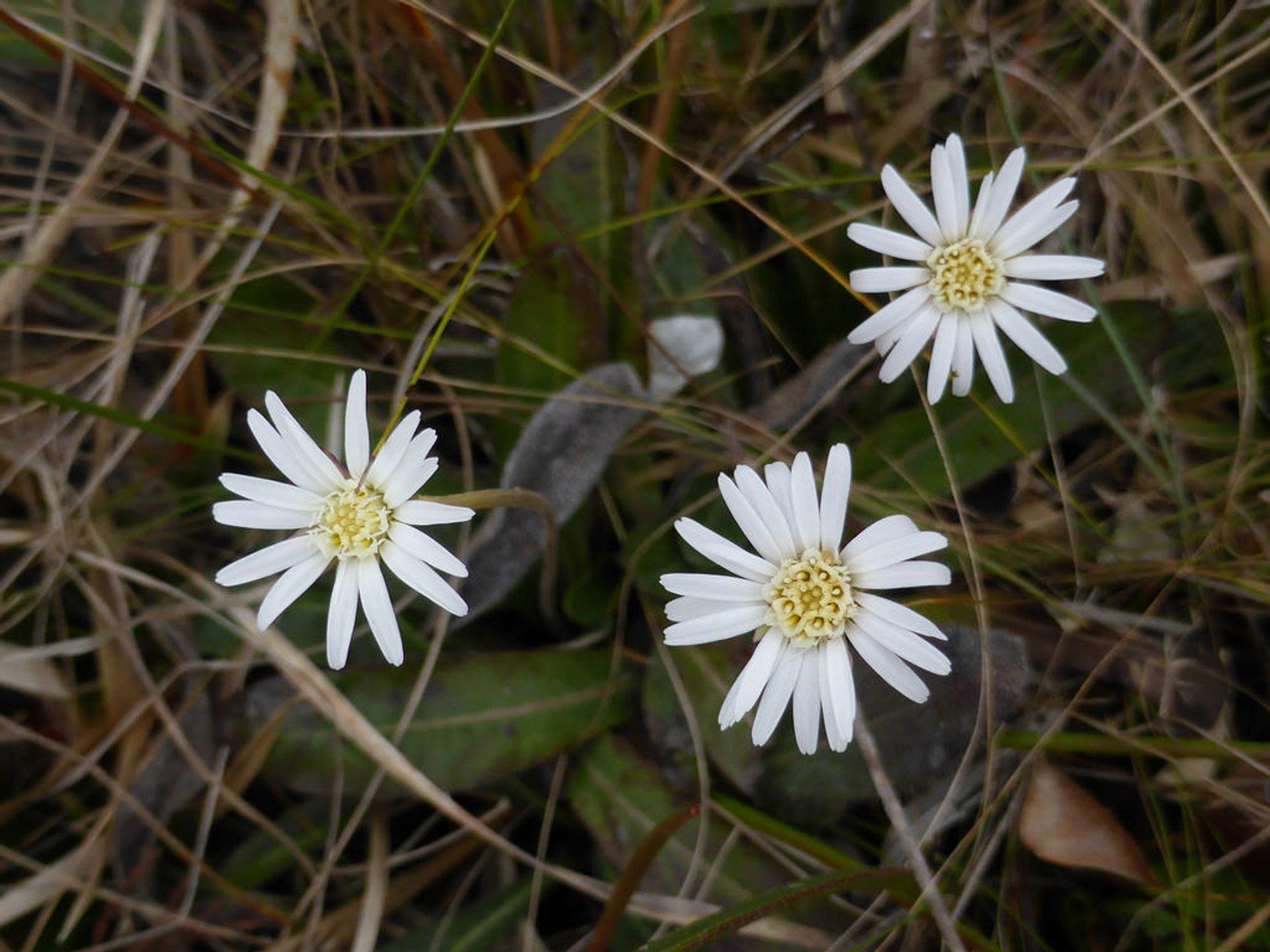 Pineland daisy 2020