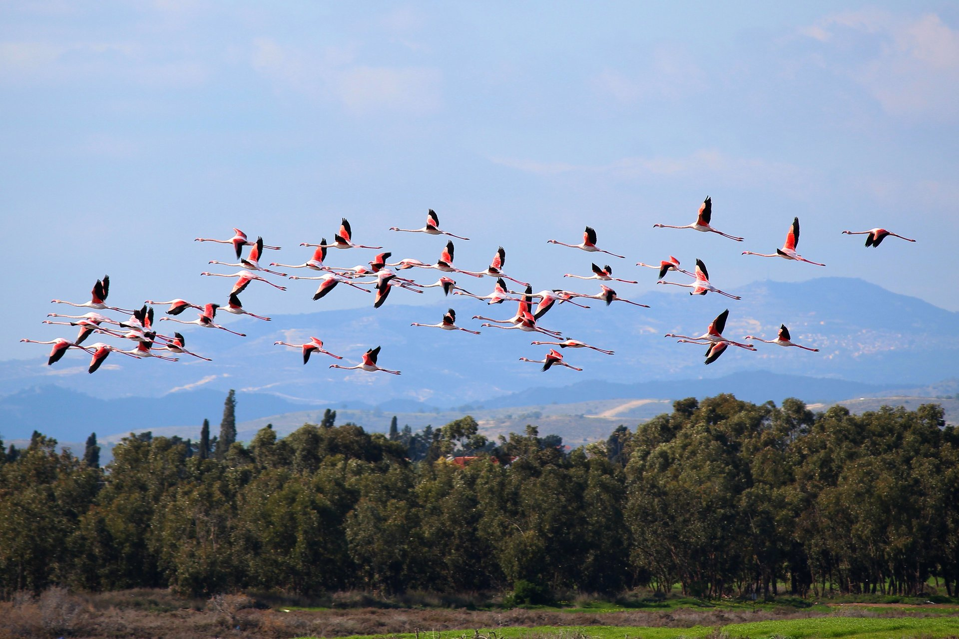 Greater Flamingos in Cyprus - Best Season 2019