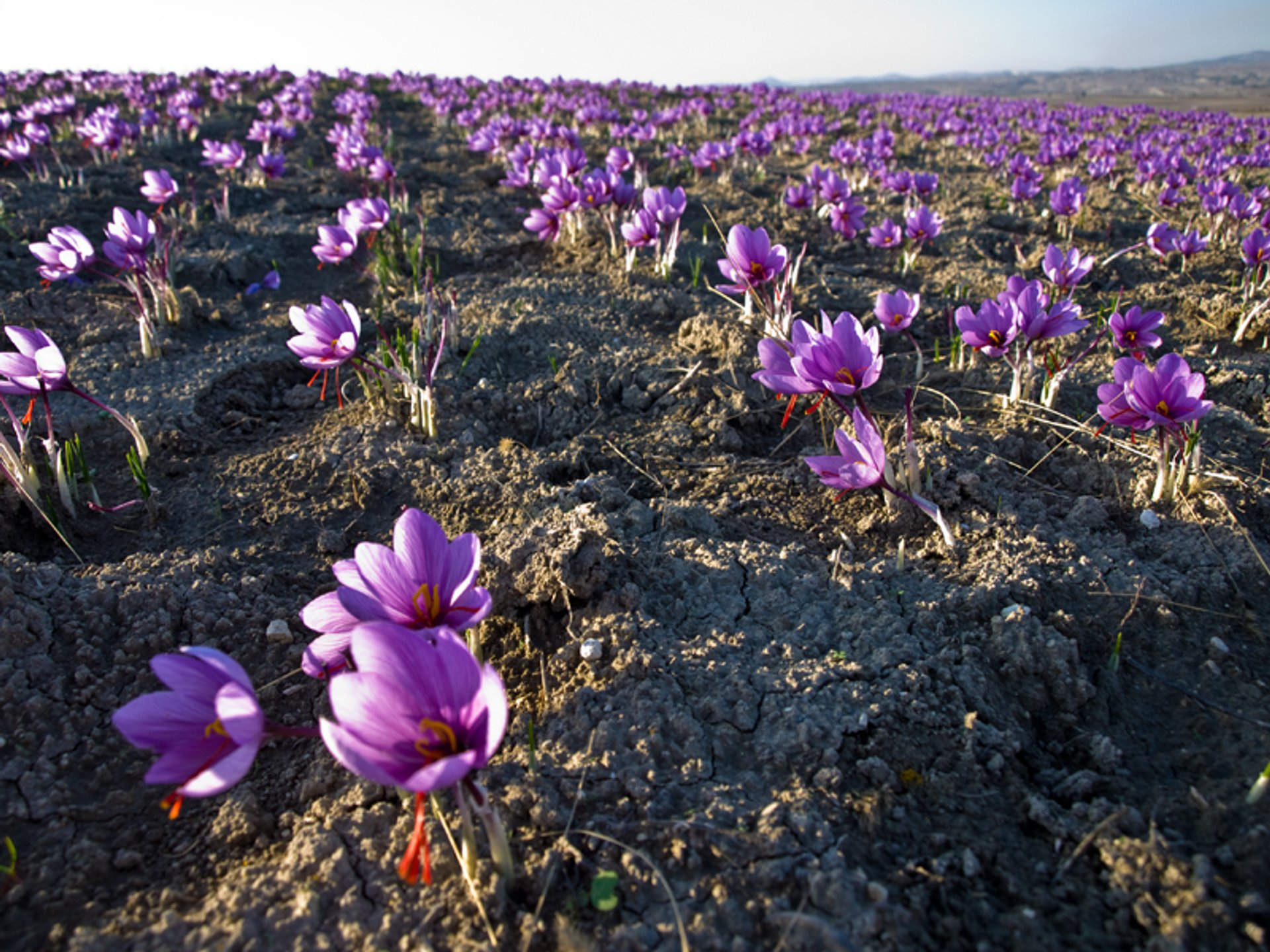 Saffron Harvest in Greece - Best Time