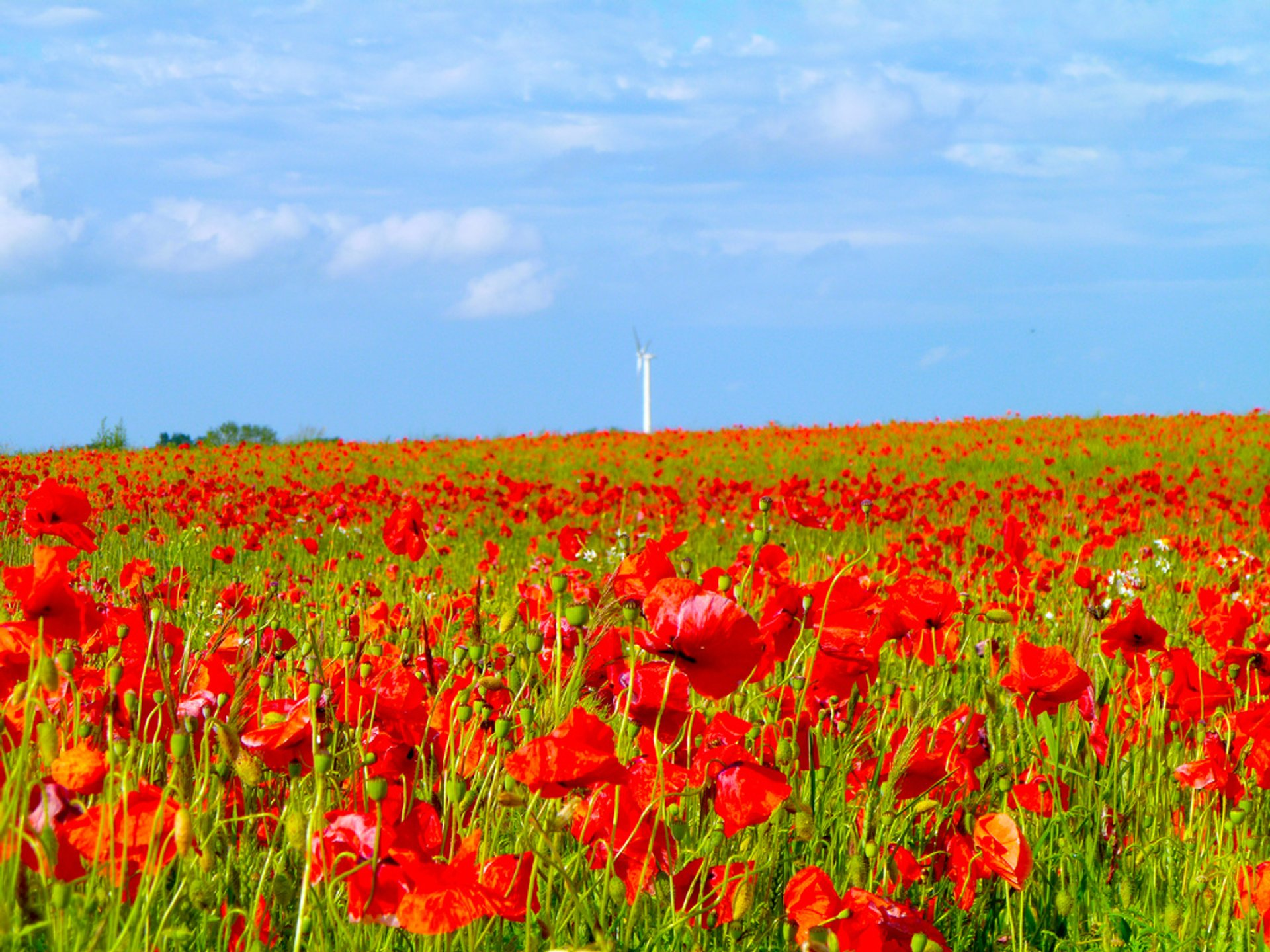 Poppies in Sjaelland, Denmark 2019