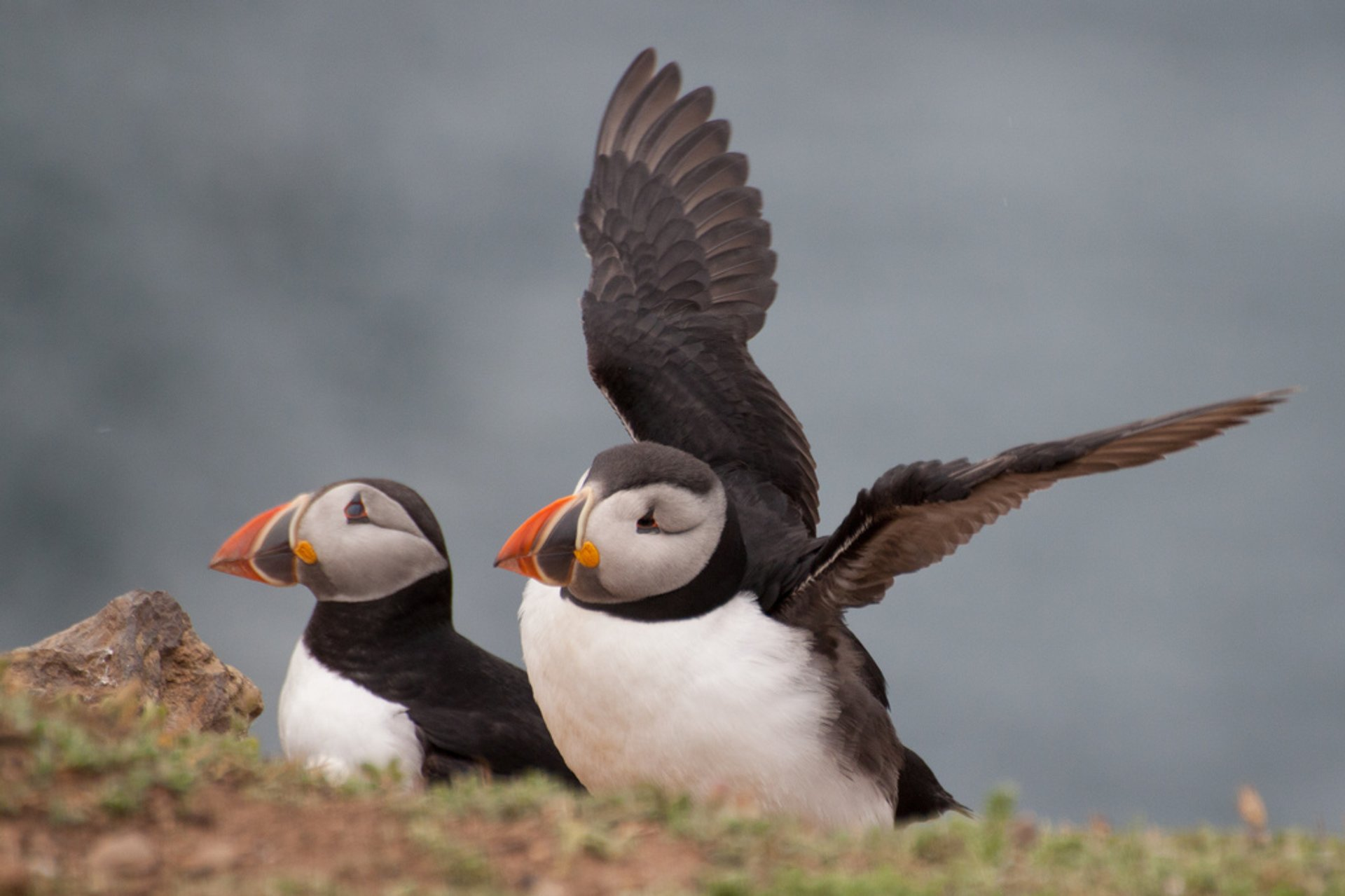 Best time for Atlantic Puffins on Skomer in Wales
