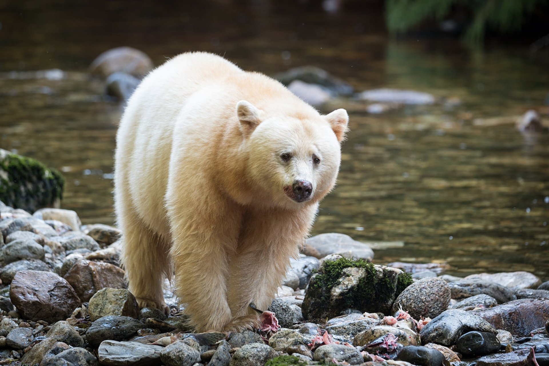 Spirit Bears in British Columbia 2020 - Best Time