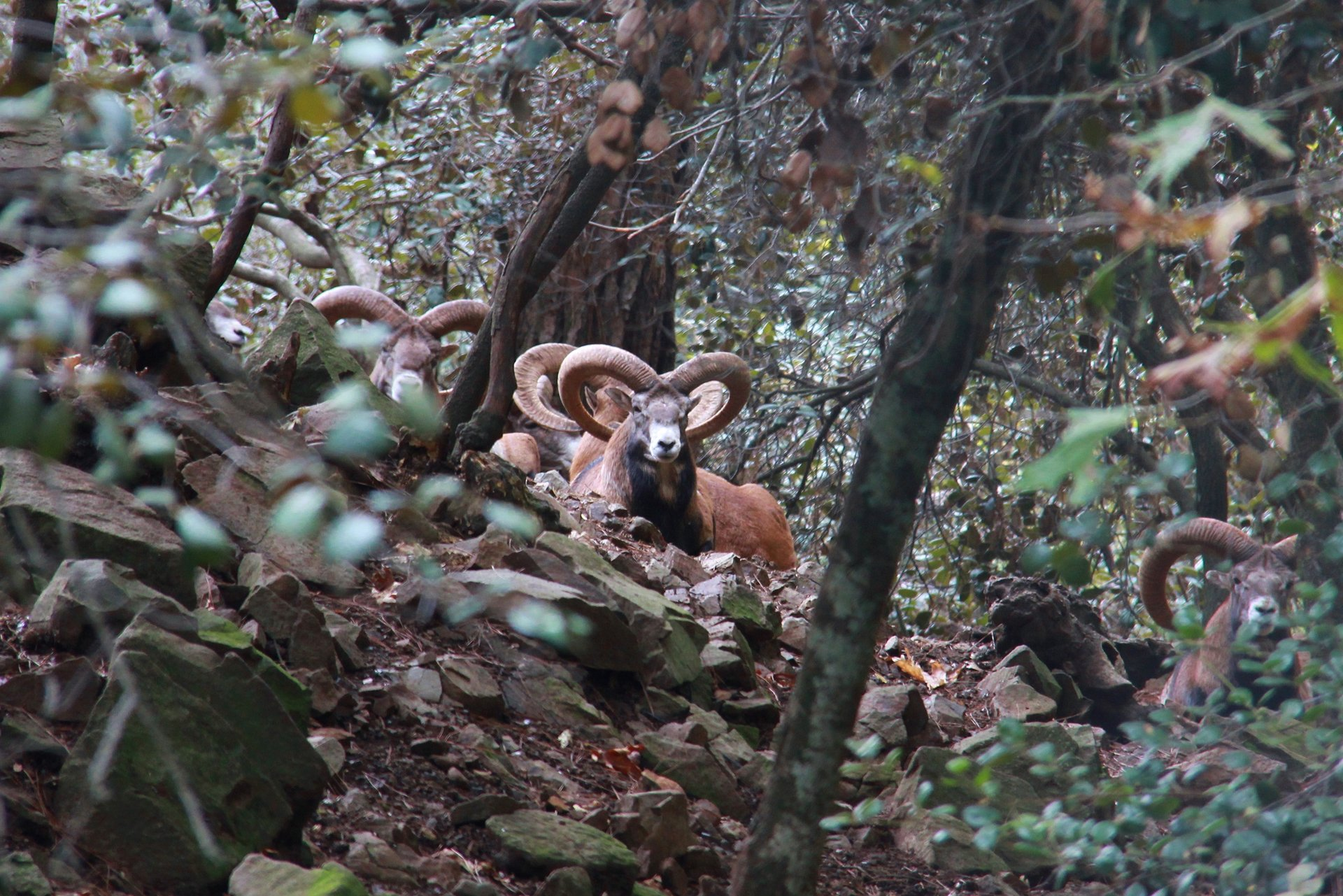 Mouflon in Stavros tis Psokas 2020